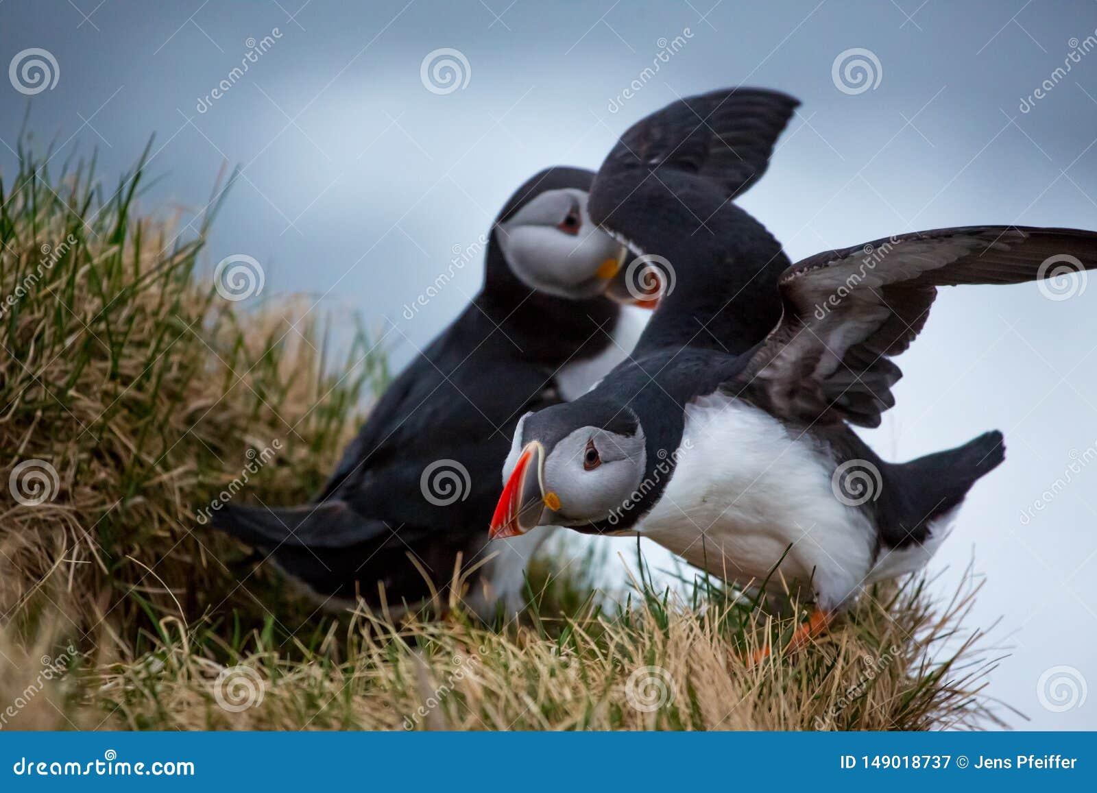 Papageientaucherpaare auf einer Leiste