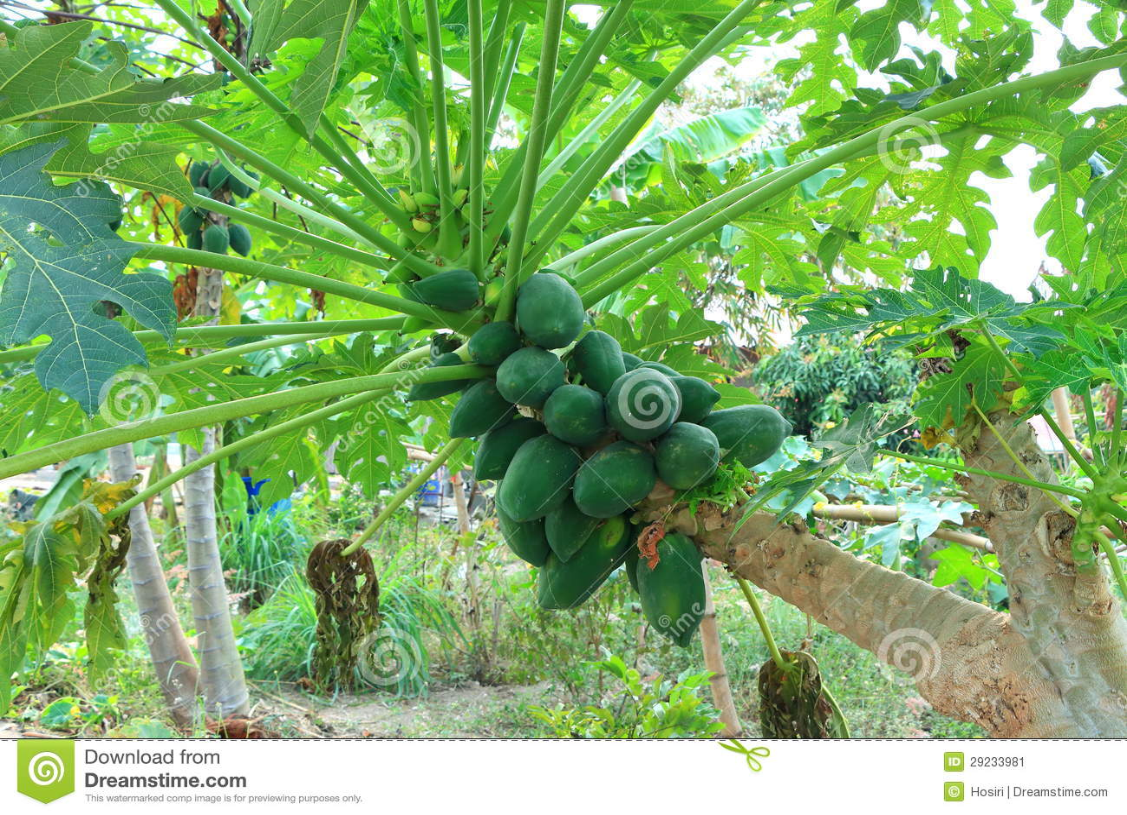 Download Papaia imagem de stock. Imagem de dieta, papaw, fruity - 29233981