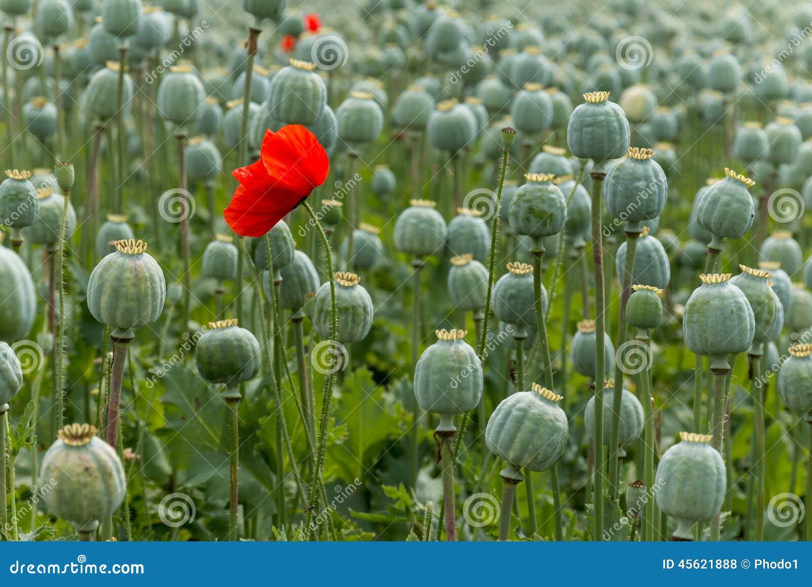 Papaver Field Single Poppy Flower Stock Photo Image Of Poppy