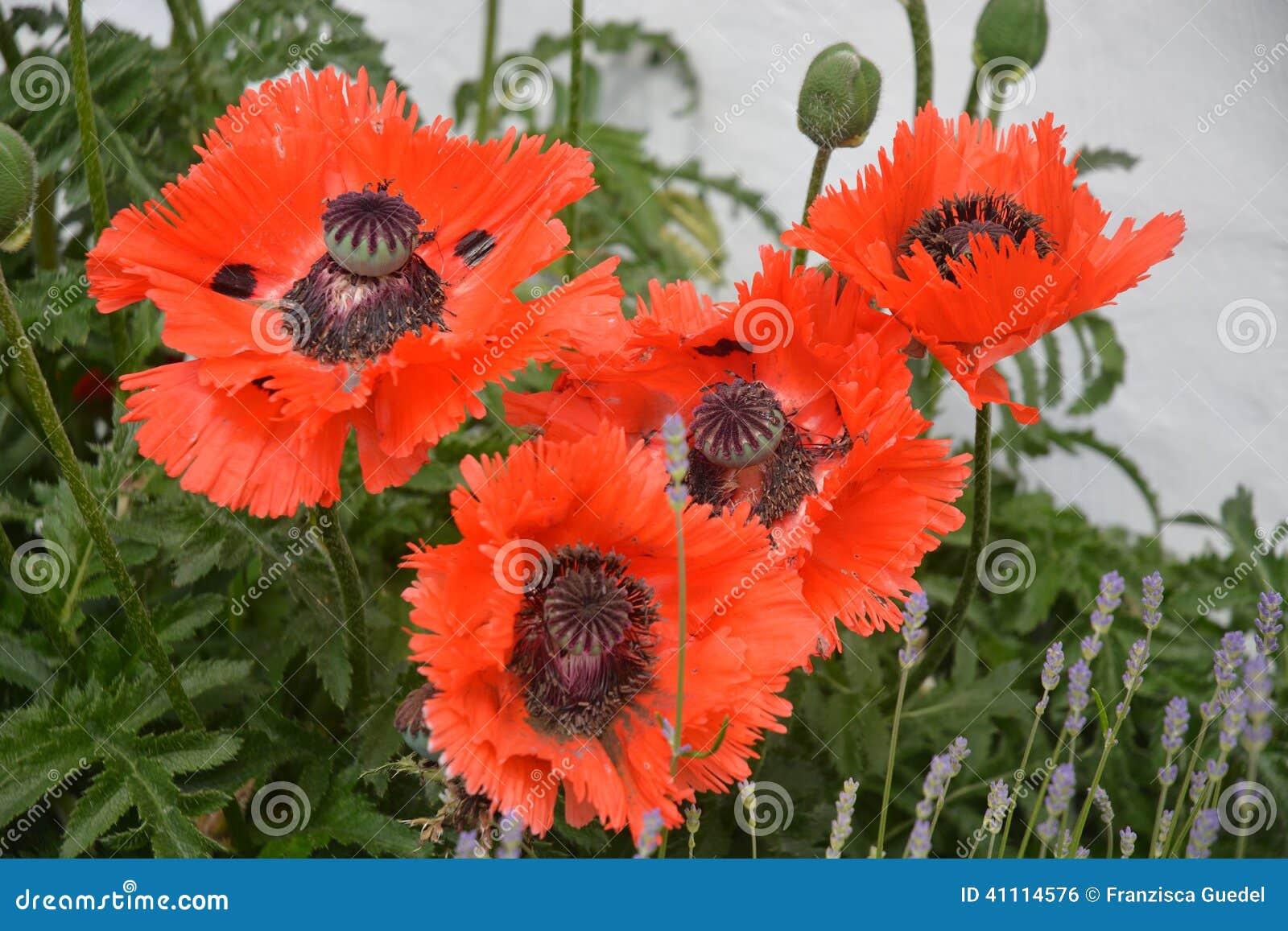 Papaver Orientale Oriental Poppy Flower Stock Photo Image Of