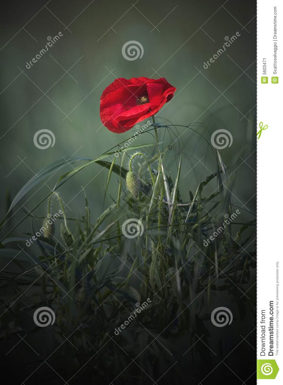 Papaver (Papaver rhoeas), Corn Poppy, Field Poppy, Flanders Poppy, or Red Poppy,