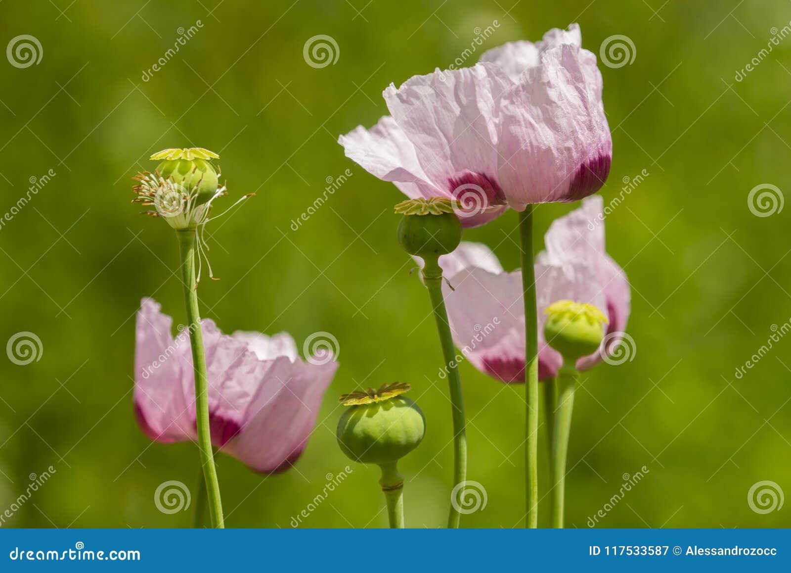 Opium Poppy Flowers Papaver Somniferum Stock Image Image Of