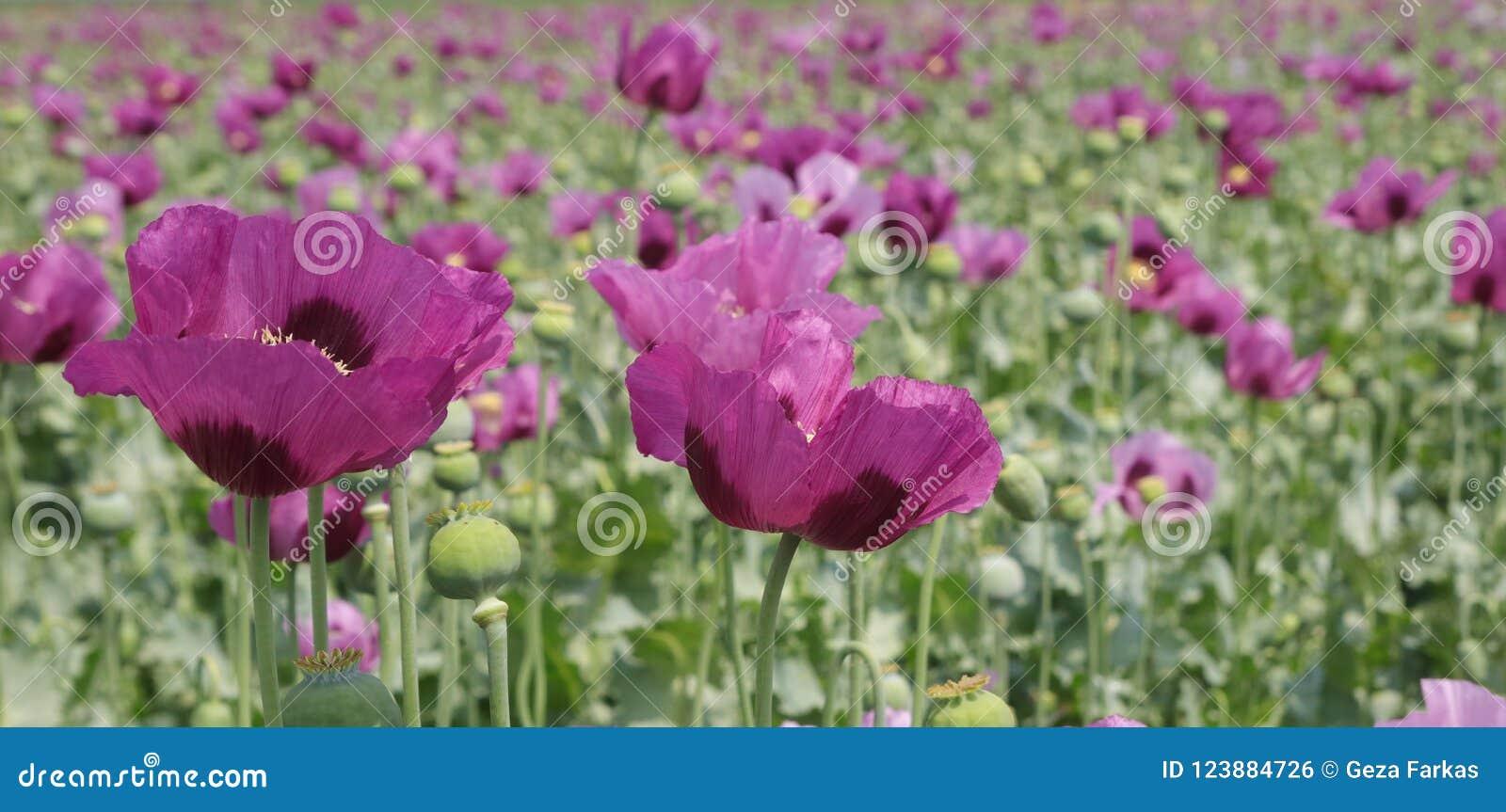 Papaver Somniferum Opium Poppy Field Stock Photo Image Of Flower
