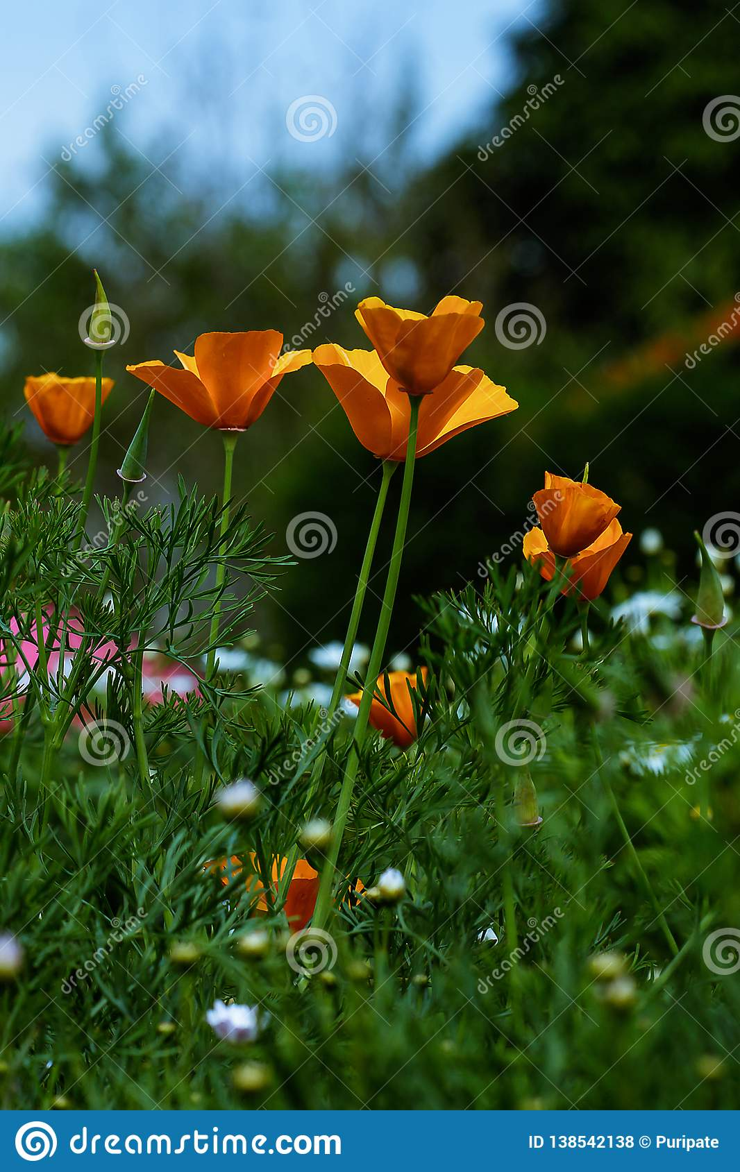 Papaveraceae in the garden is blooming