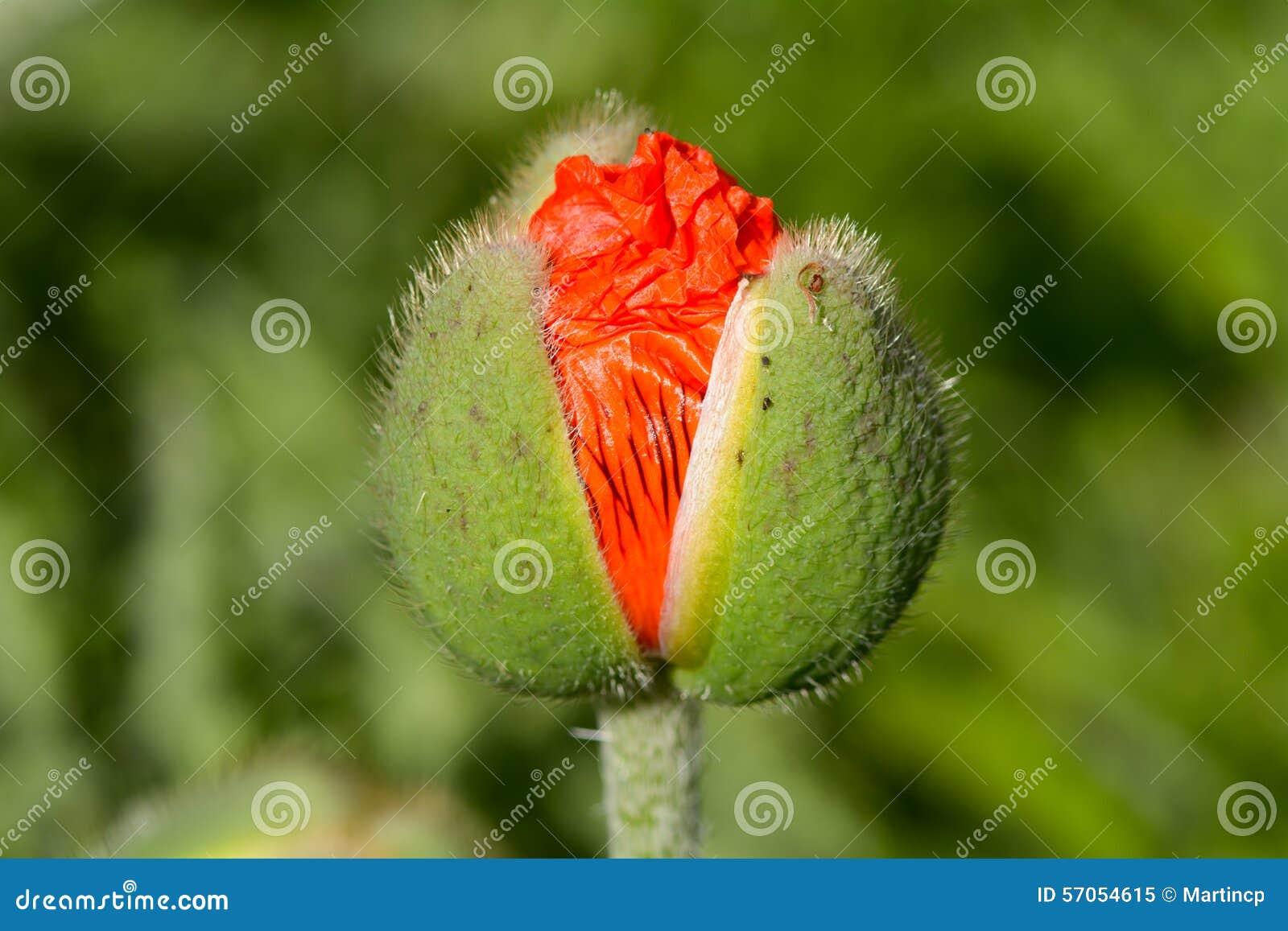 Papaverbloem die uit knop te voorschijn komen