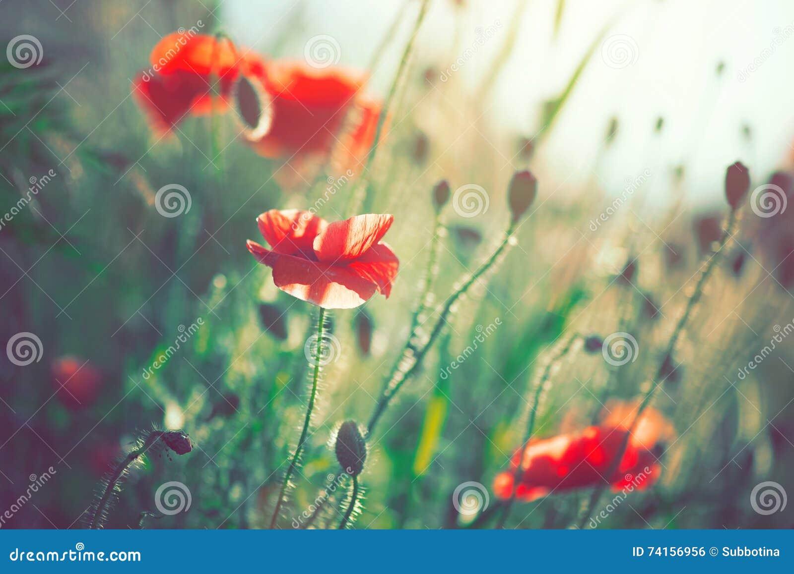 Papaverbloemen die op het gebied bloeien