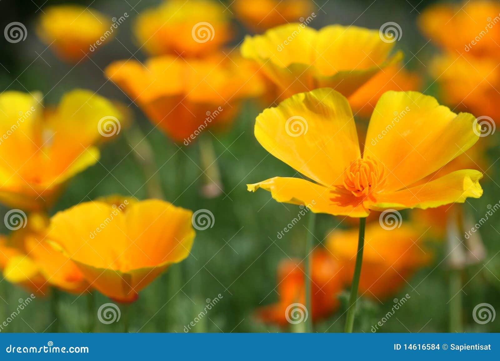 Papaveri californiani nel giardino fotografia stock - Il sole nel giardino ...