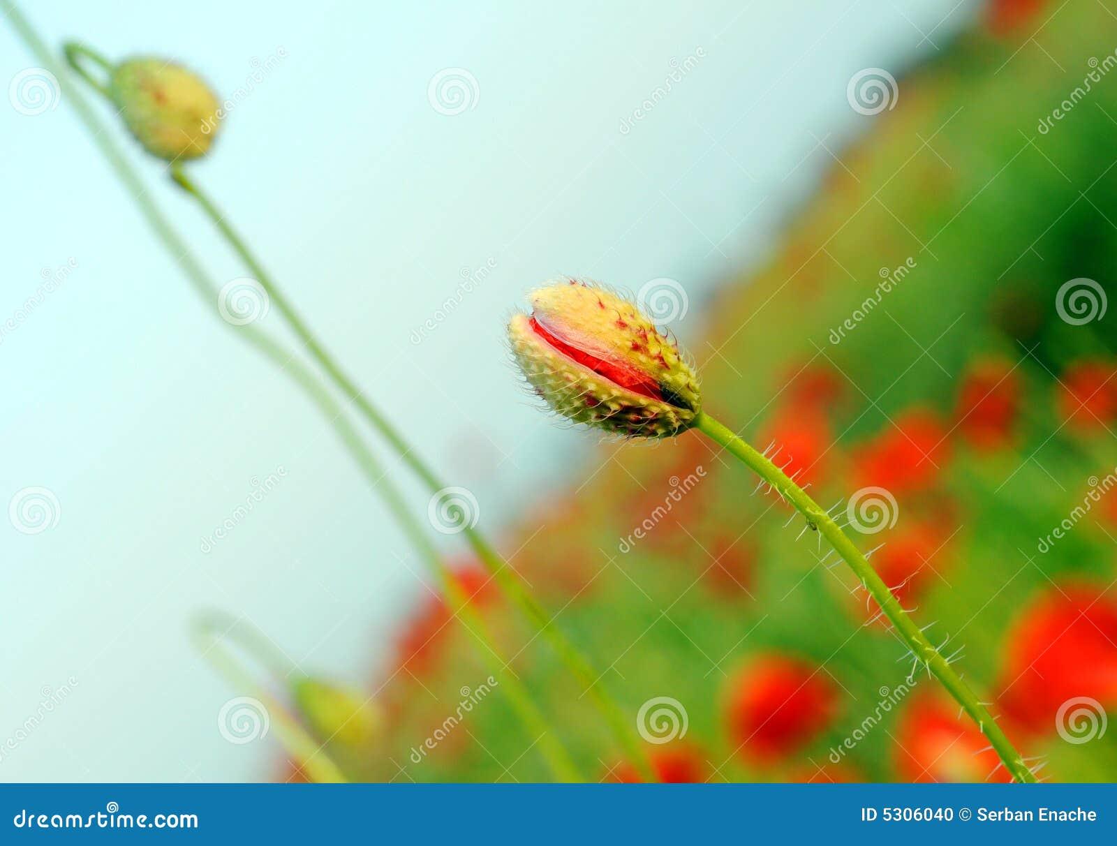 Download Papaveri germoglianti fotografia stock. Immagine di naughty - 5306040