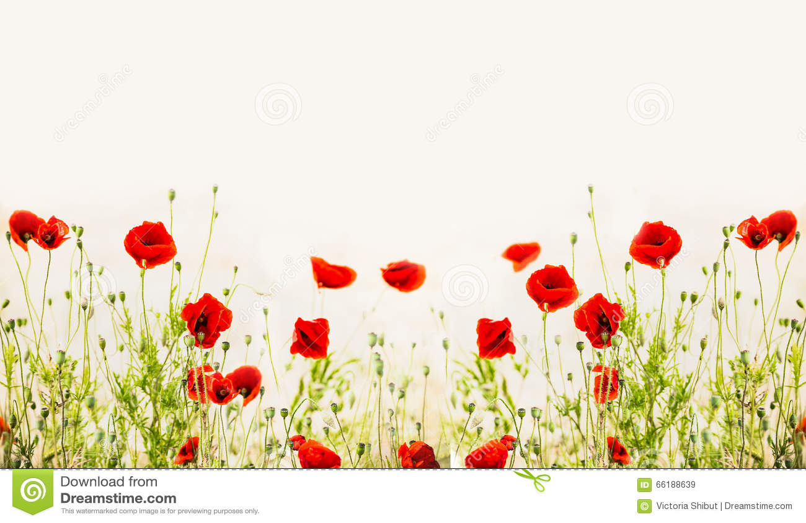 Papaveri rossi, fondo floreale all aperto della natura