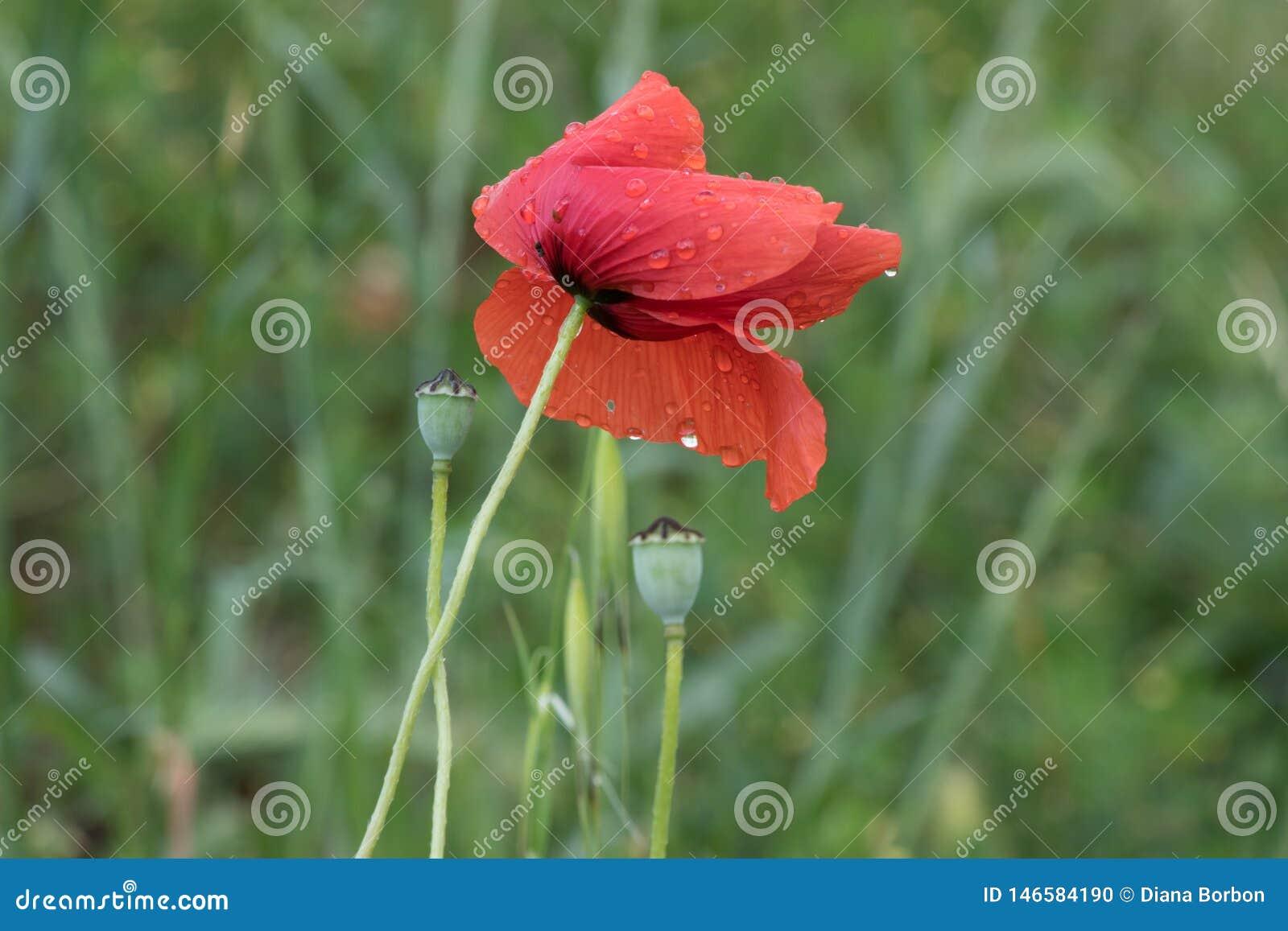 Papavero del fiore su fondo verde