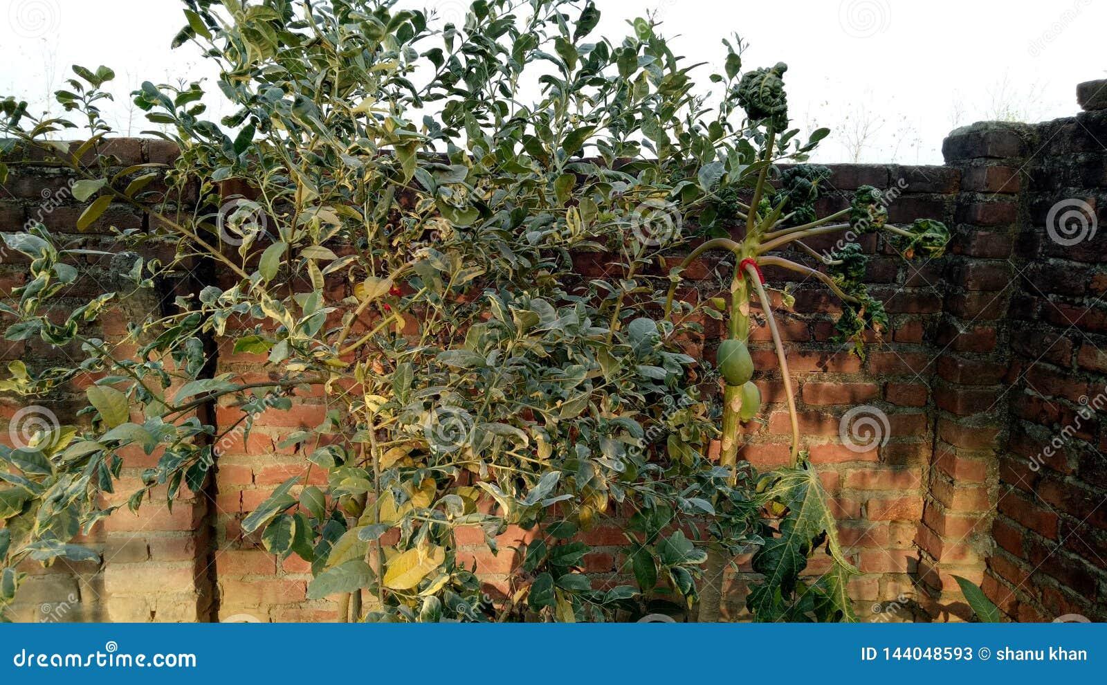 Papaya και λεμονιών εγκαταστάσεις