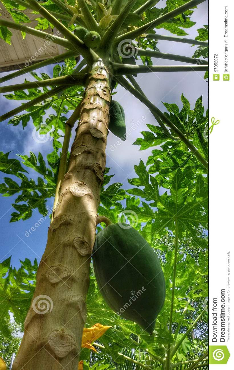 Papaya fruit plant