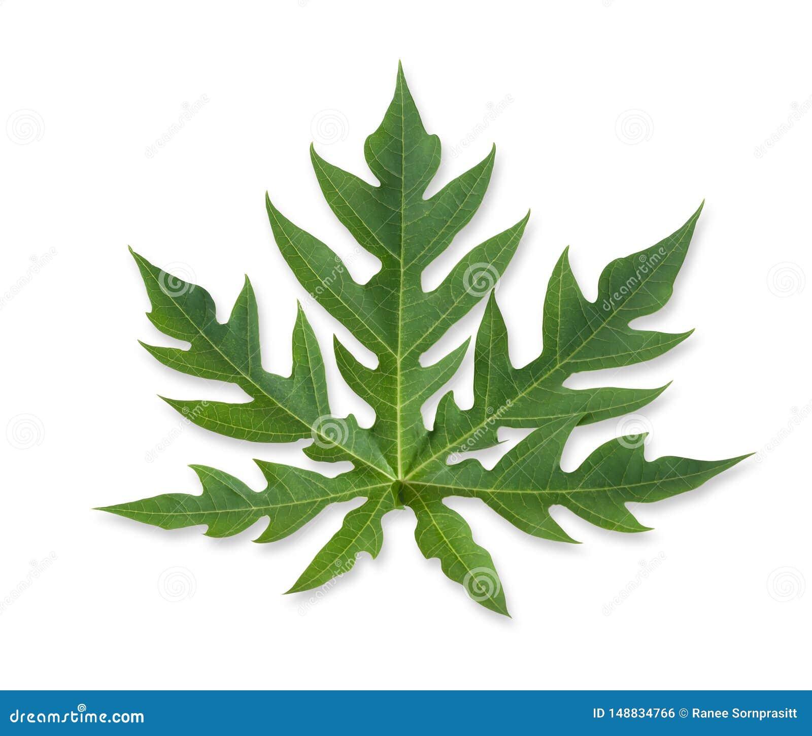 Papaya leaf isolated on the white background