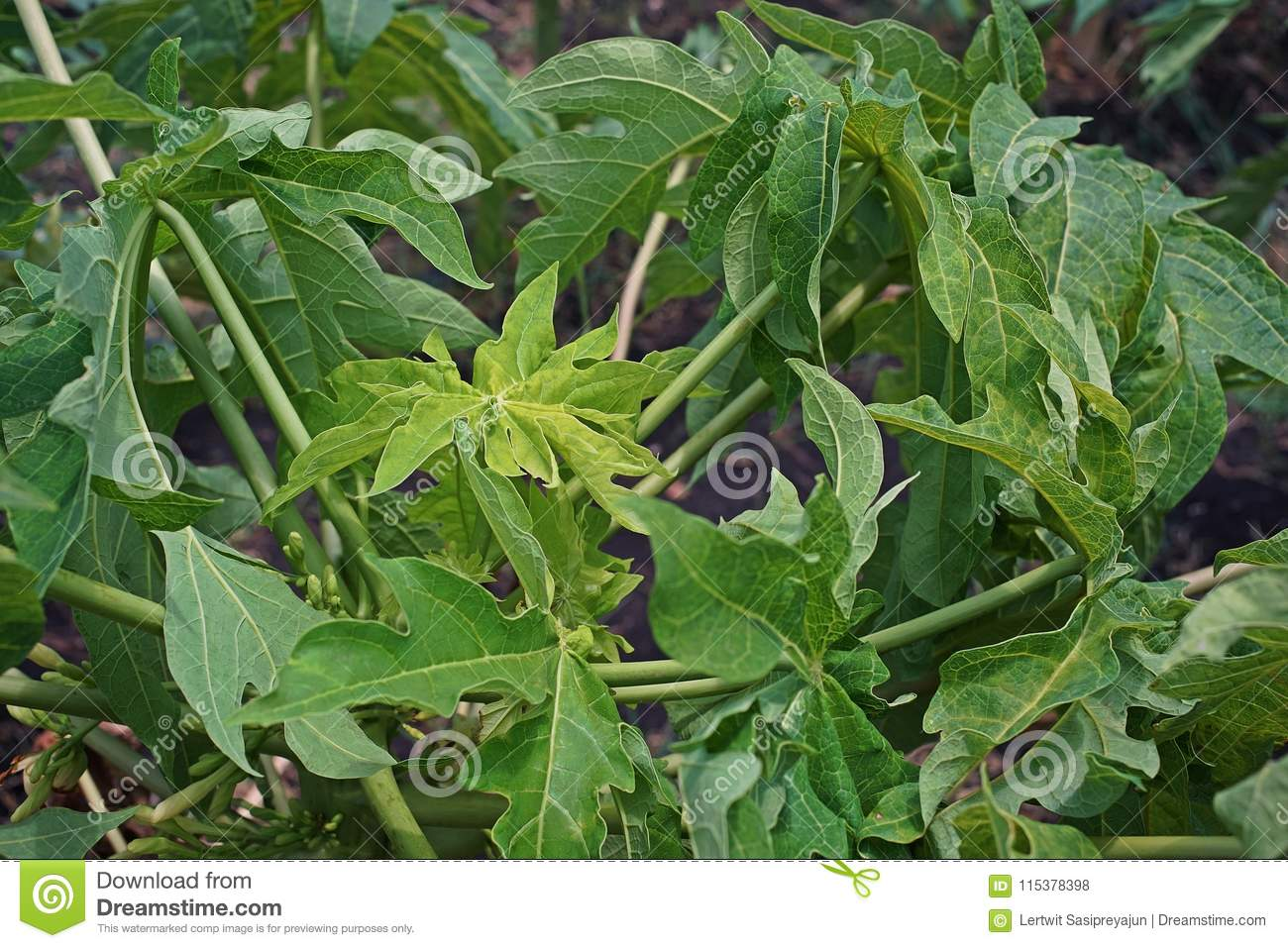 Papaya leaves yellowing and malformation from viruses infection