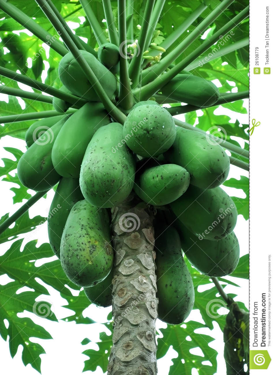 Papaya Tree Images Download