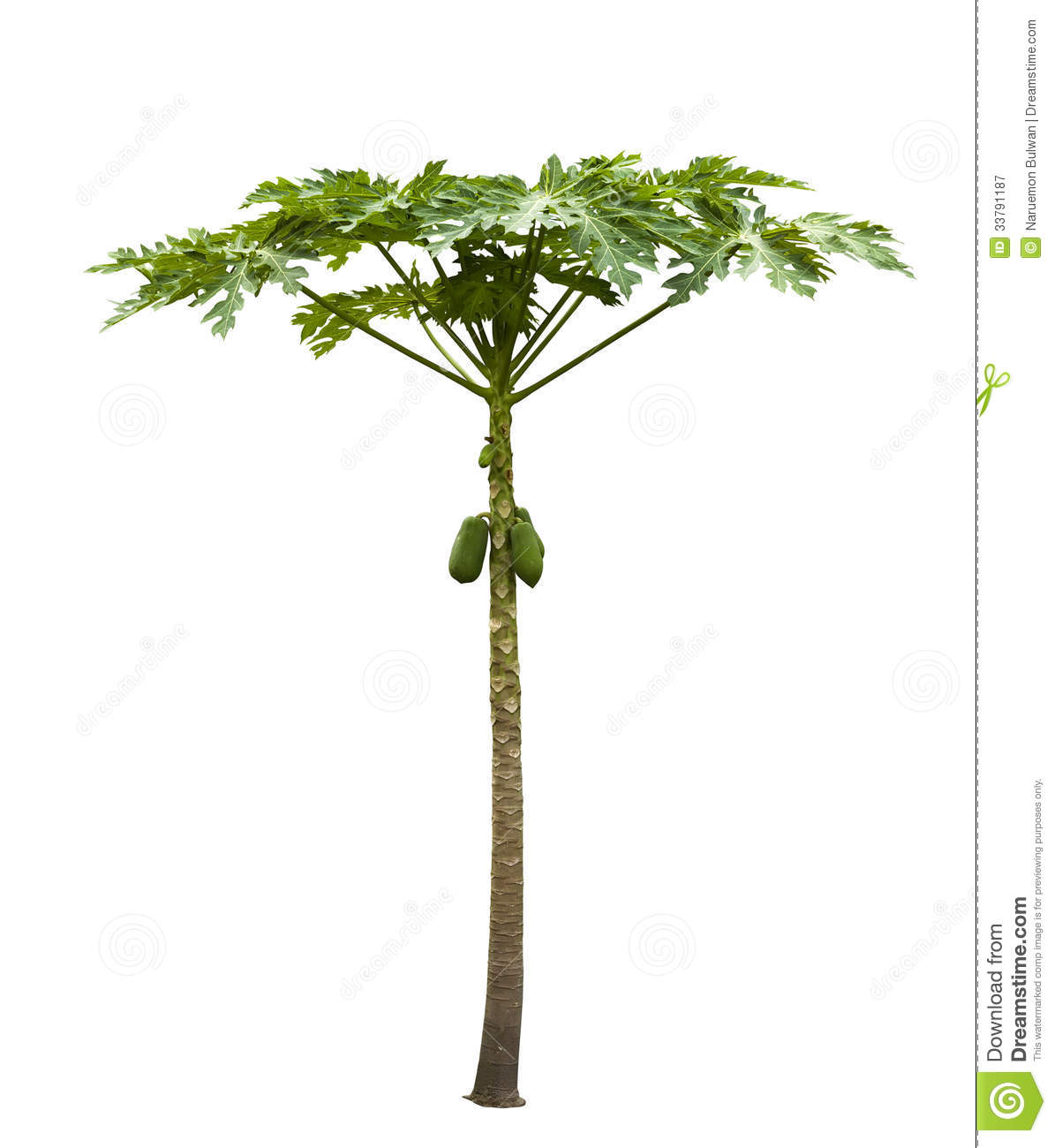 Papaya Tree (Carica Papaya) Isolated On White Royalty Free Stock ...