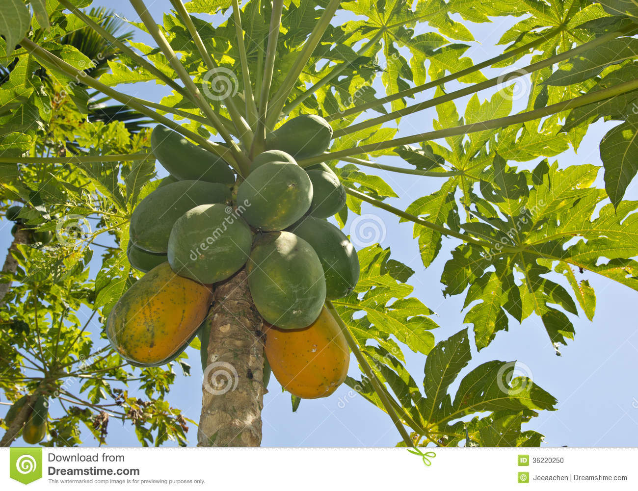 The Papaya Tree Maturing Stock Photo - Image: 36220250