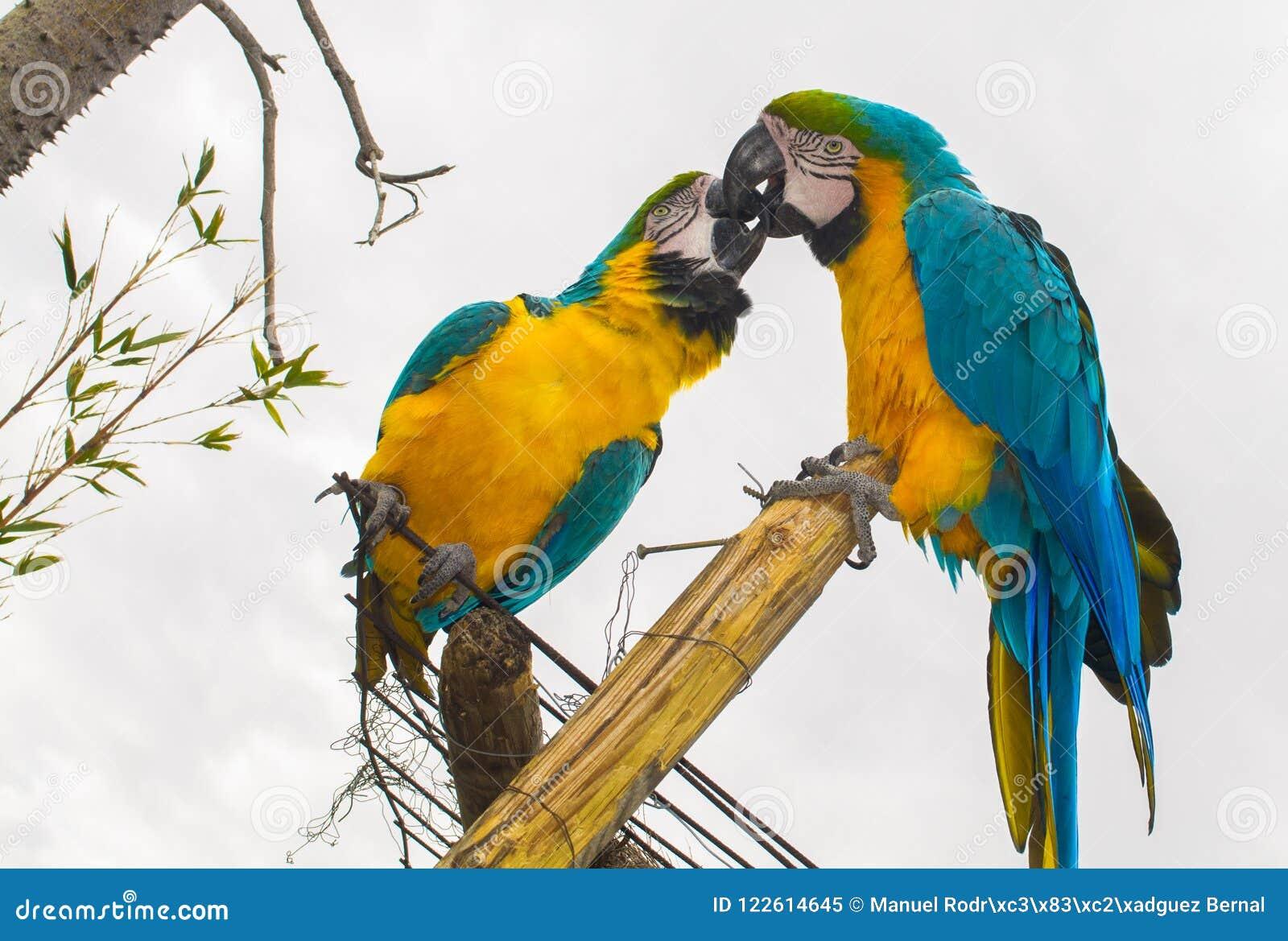 Papegaai het kussen in liefde