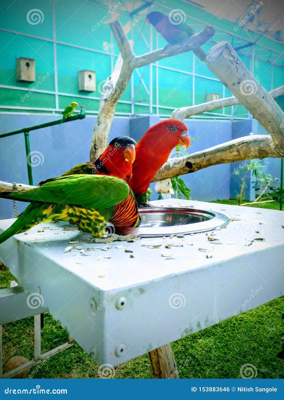 Papegaaien, als psittacines ook worden bekend die