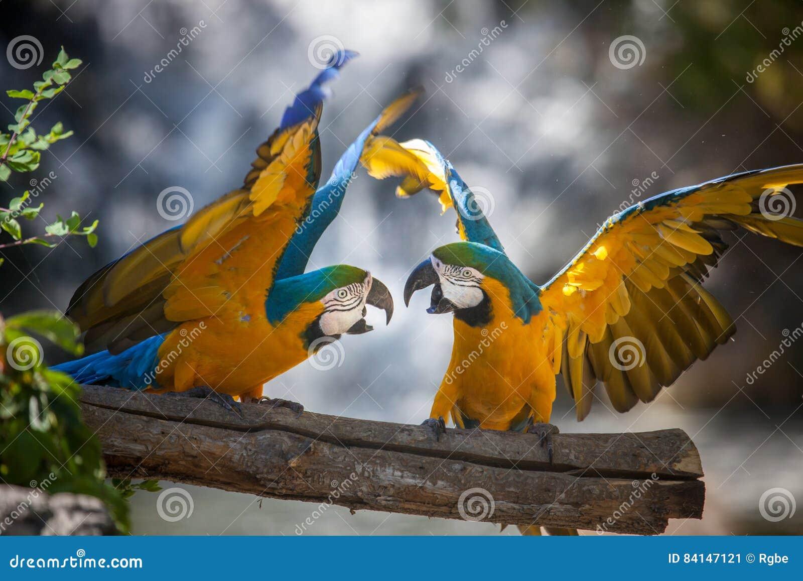 Papegaaien het vechten