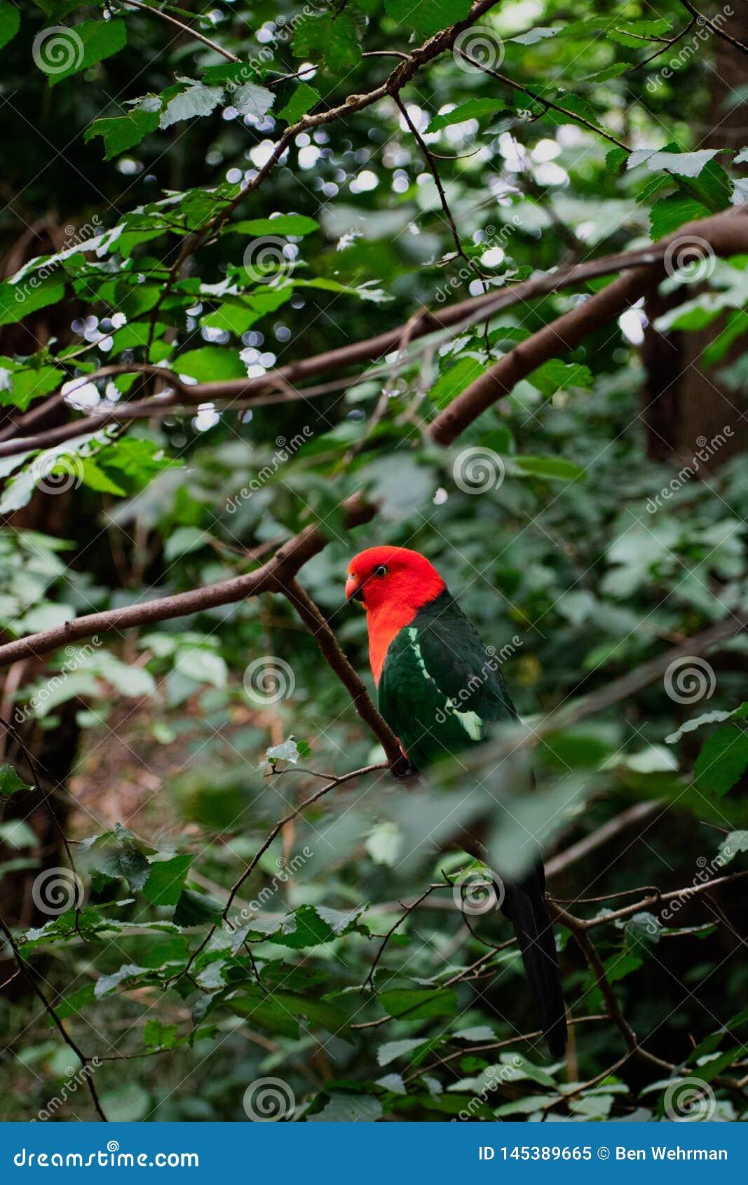 Papegoja i skog