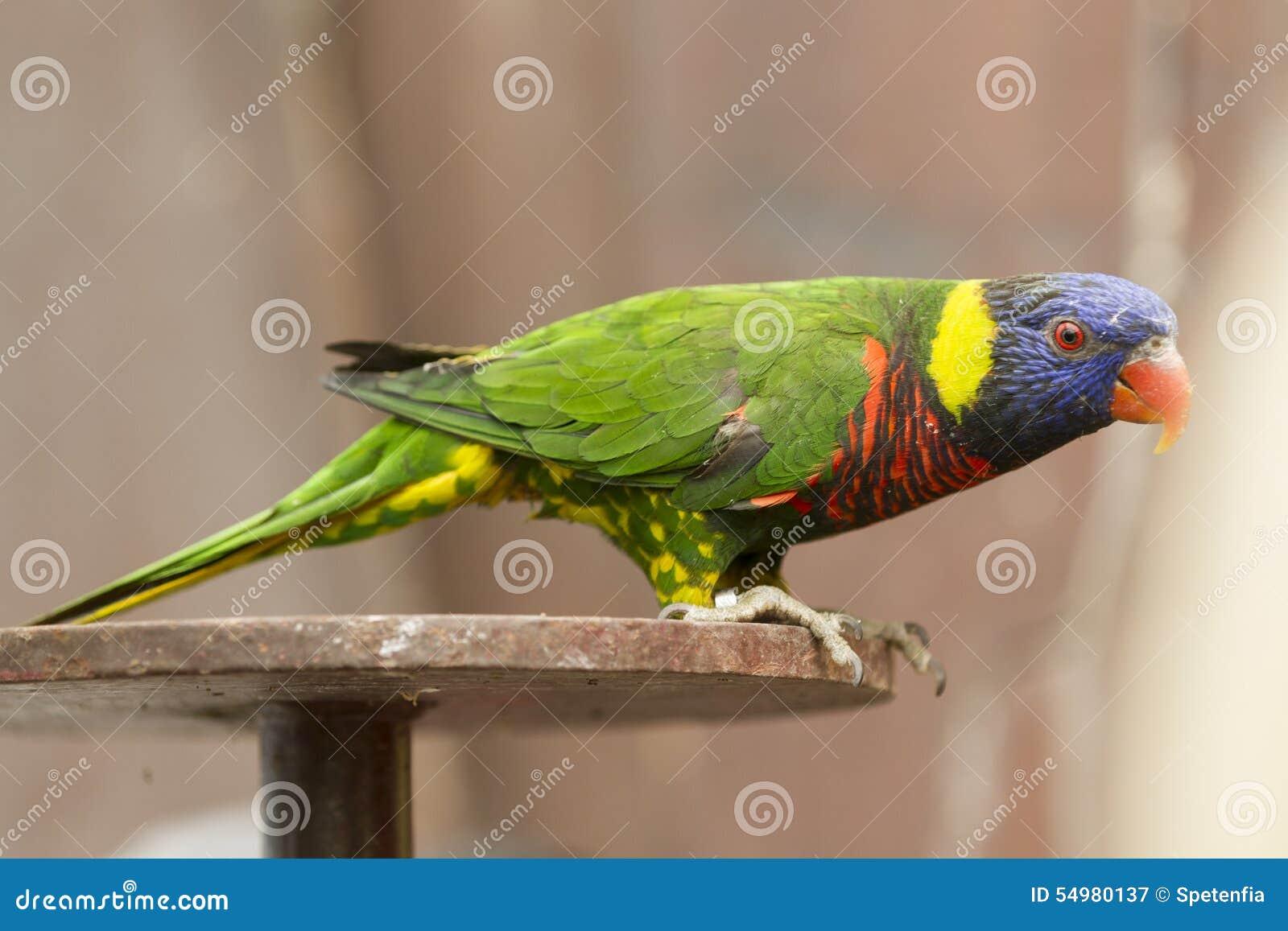 Papegoja på sittpinnen