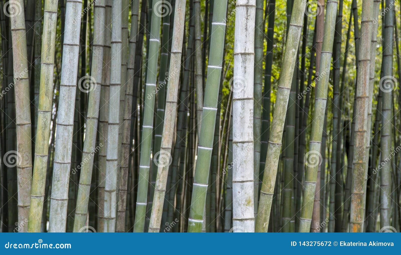 Papel de parede de bambu do fundo