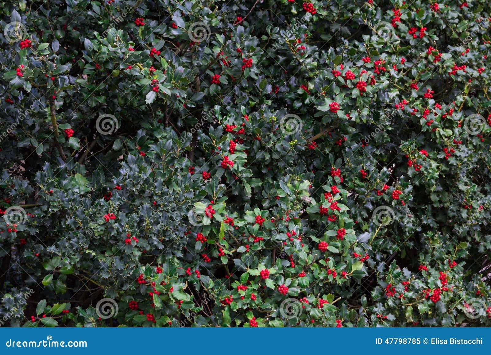 Papel pintado del fondo de las ramas del acebo de la - Papel pintado ramas arbol ...