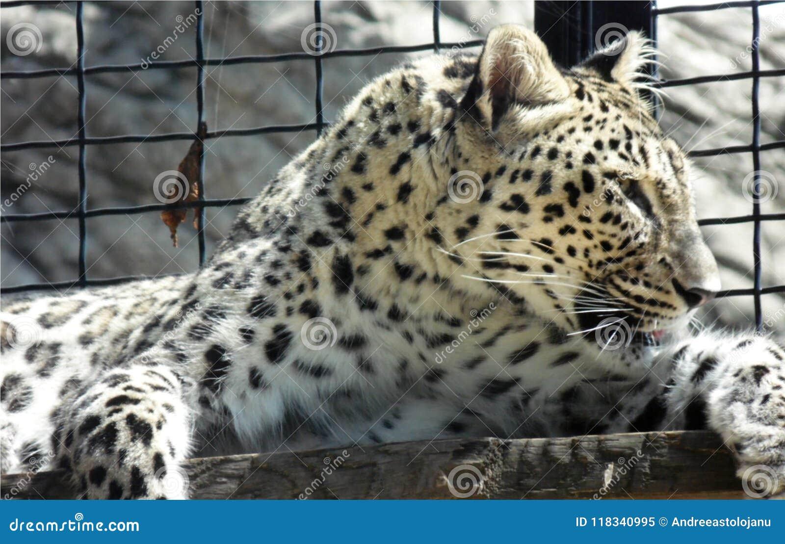 Papel pintado del primer del leopardo salvaje que miente en un tablero de madera en el parque zoológico, retrato de felino despre