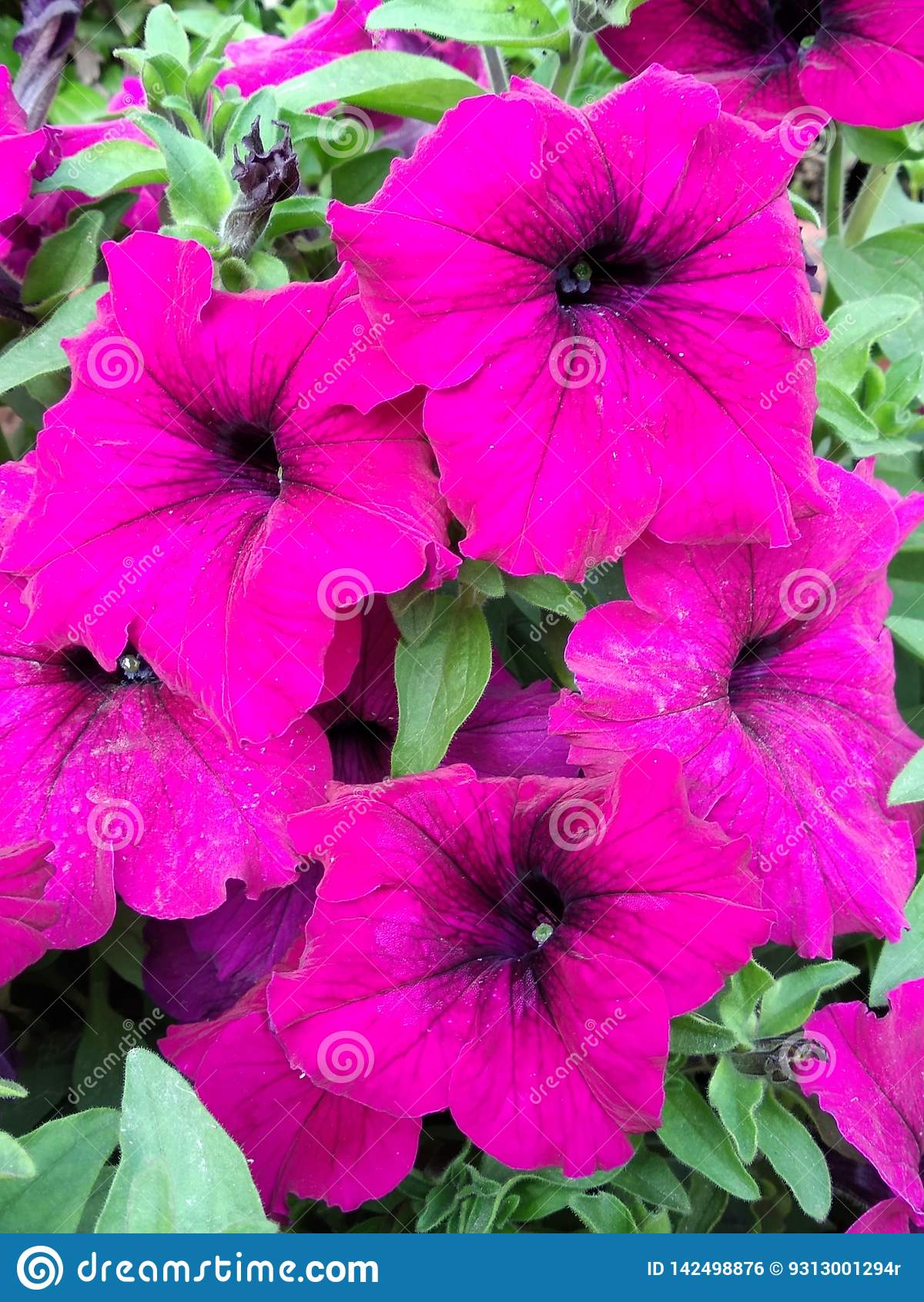 Papel pintado púrpura hermoso de las flores de la petunia