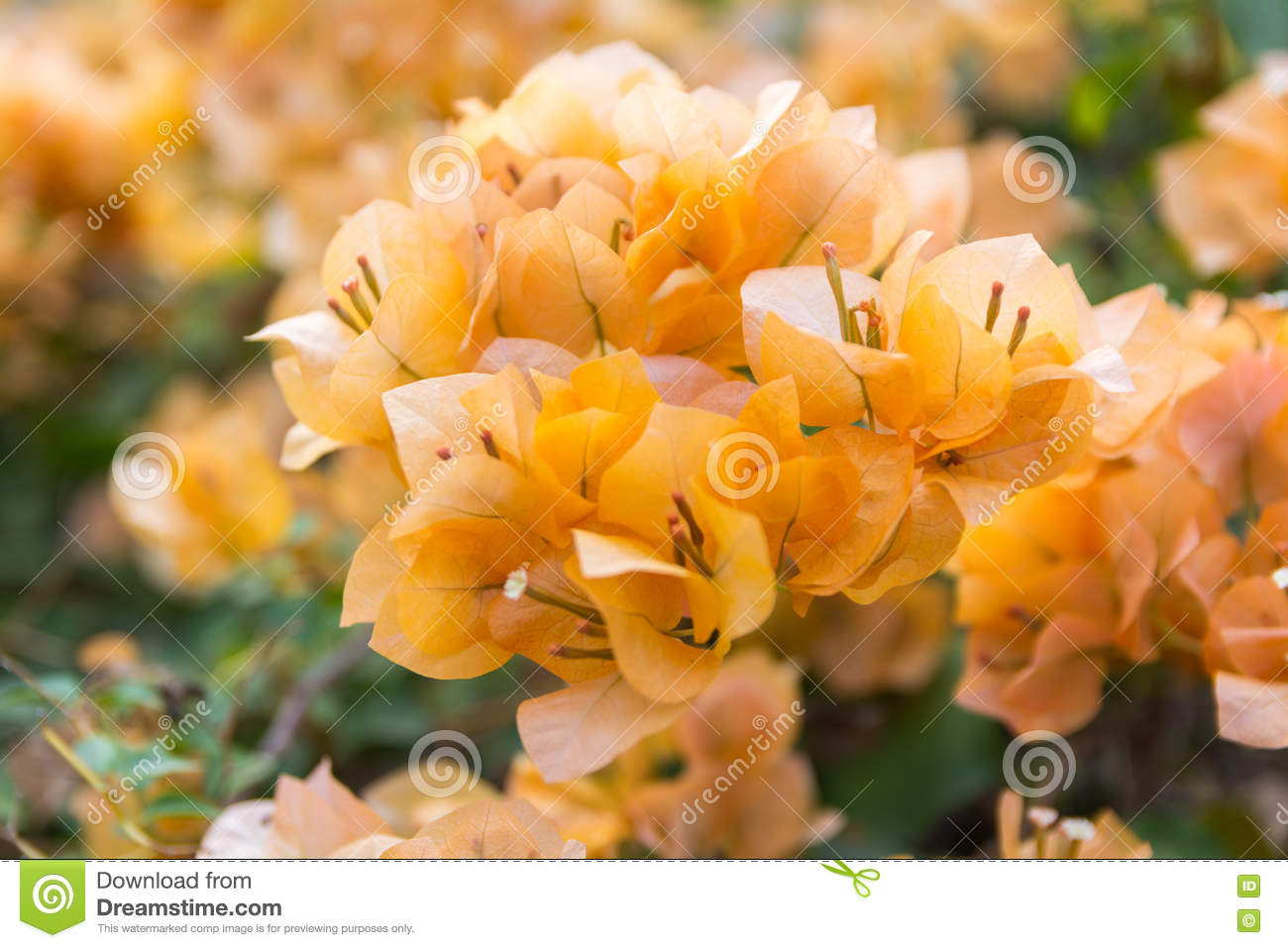 Paper flower stock photo image of flower nyctaginaceae 80329934 paper flower mightylinksfo