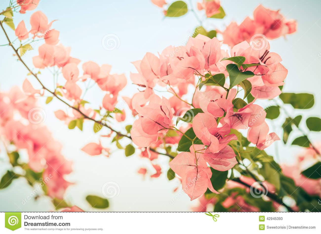 Paper flowers or bougainvillea vintage stock image image of paper flowers or bougainvillea vintage colorful growth mightylinksfo