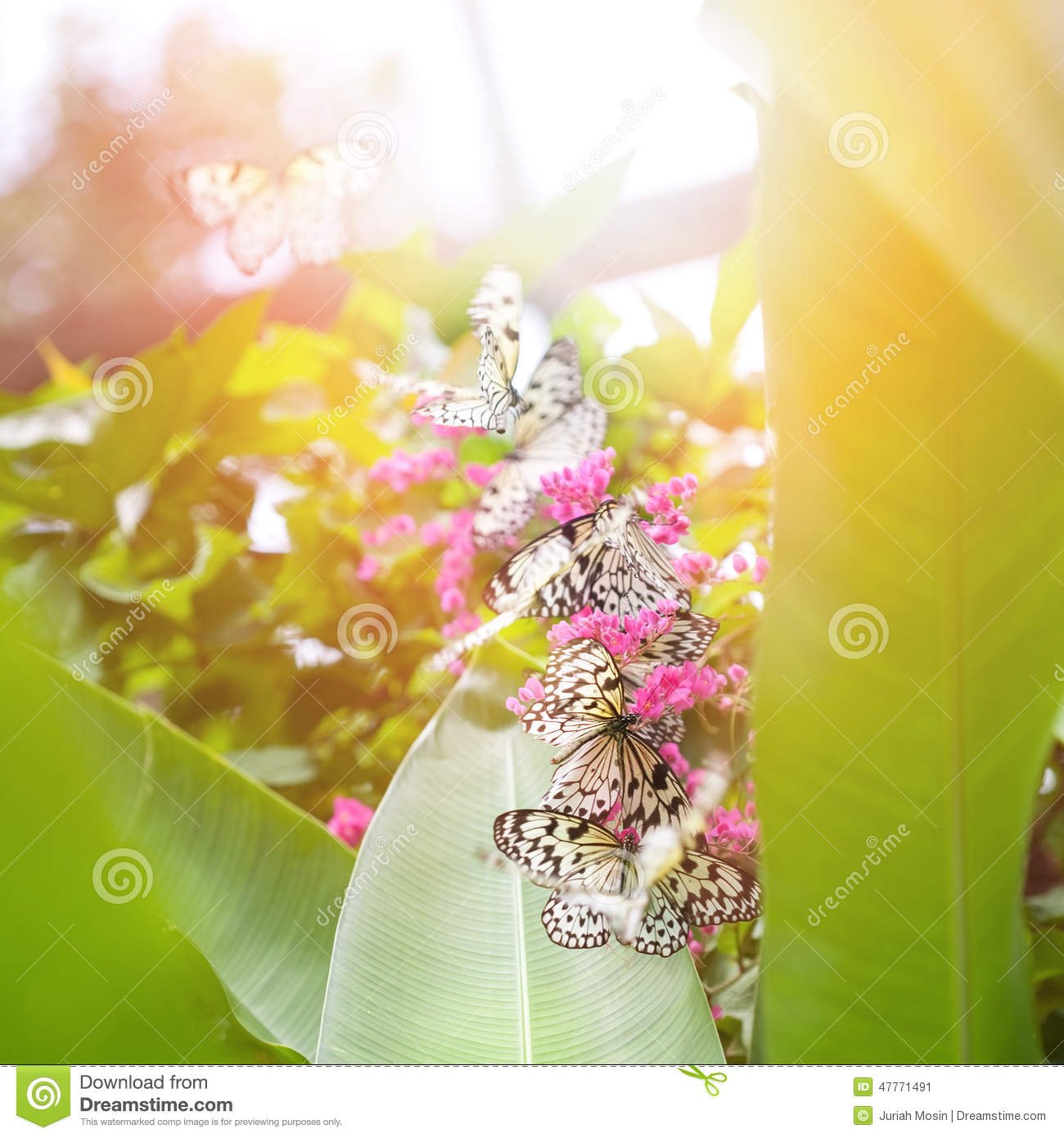 Paper kite butterflies tree nymph collecting nectar from pink download paper kite butterflies tree nymph collecting nectar from pink flowers stock image mightylinksfo