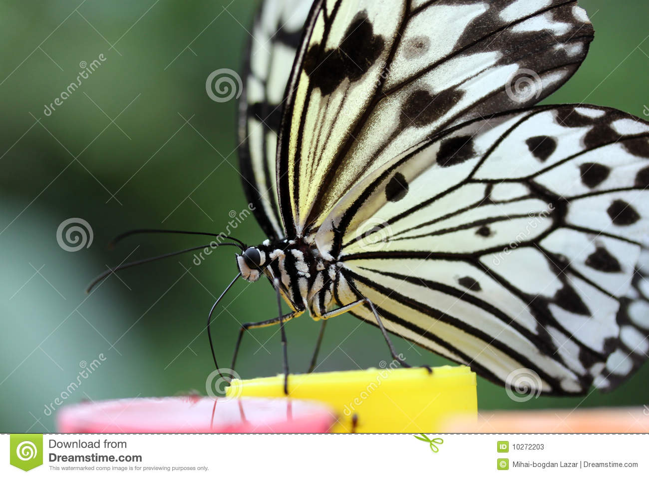 butterfly in thesis time The lemon butterfly is one of the economically important pests whose larval   the female butterfly goes from plant to plant, laying a single egg at a time on top  of a  thesis submitted to acharya ng ranga agricultural university, hyderabad.