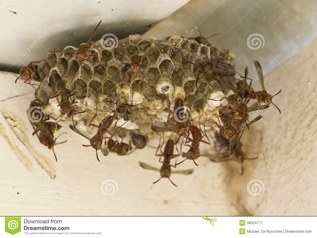 paper wasps nests Paper wasps form small colonies, and make paper nests under tree branches and the eaves of houses the nests are shaped like inverted cones,.