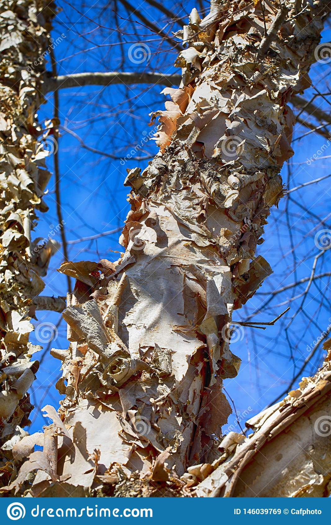 Paperbark Birch with Curling Bark