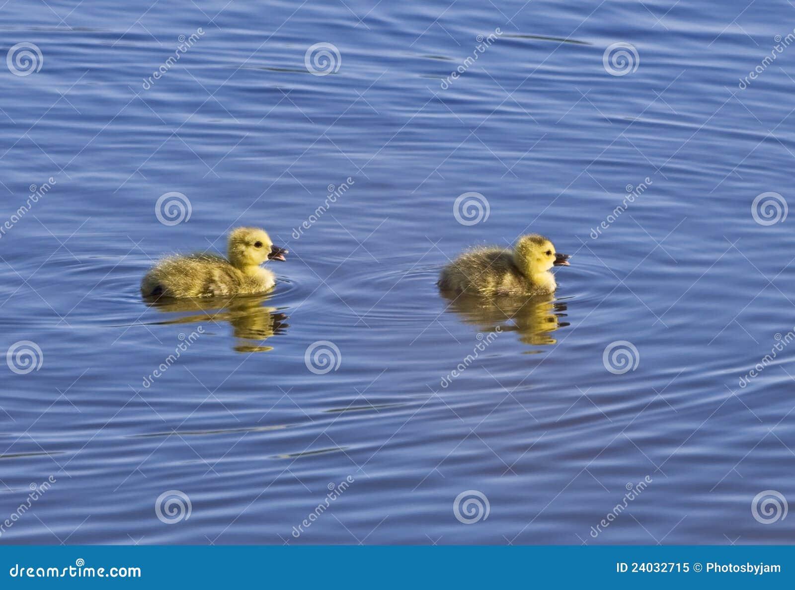 Papere appena nate fuori per una nuotata fotografia stock for Tartarughe appena nate