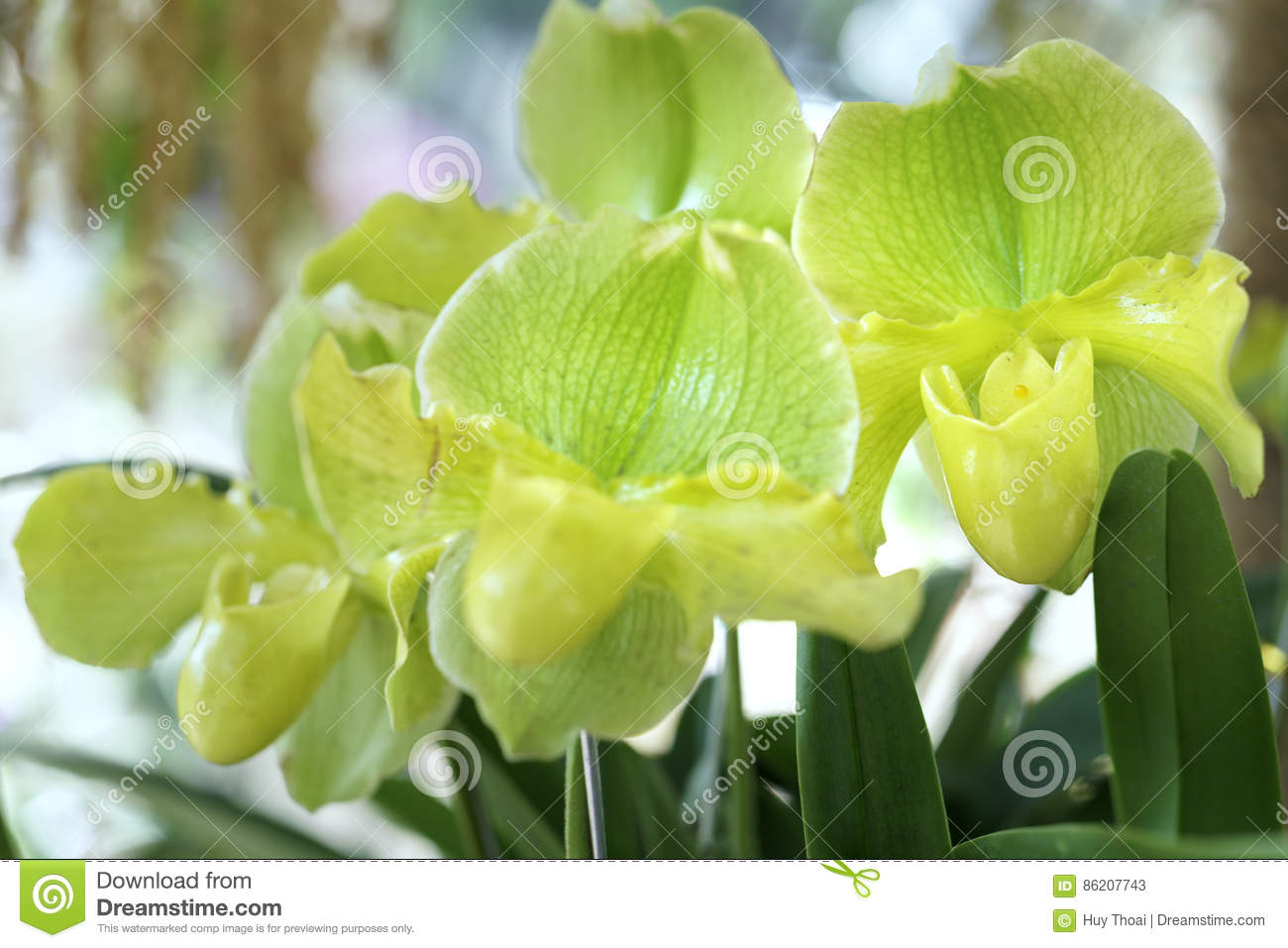 Paphiopedilum Orchids Flowers Bloom In Spring Stock Image Image Of