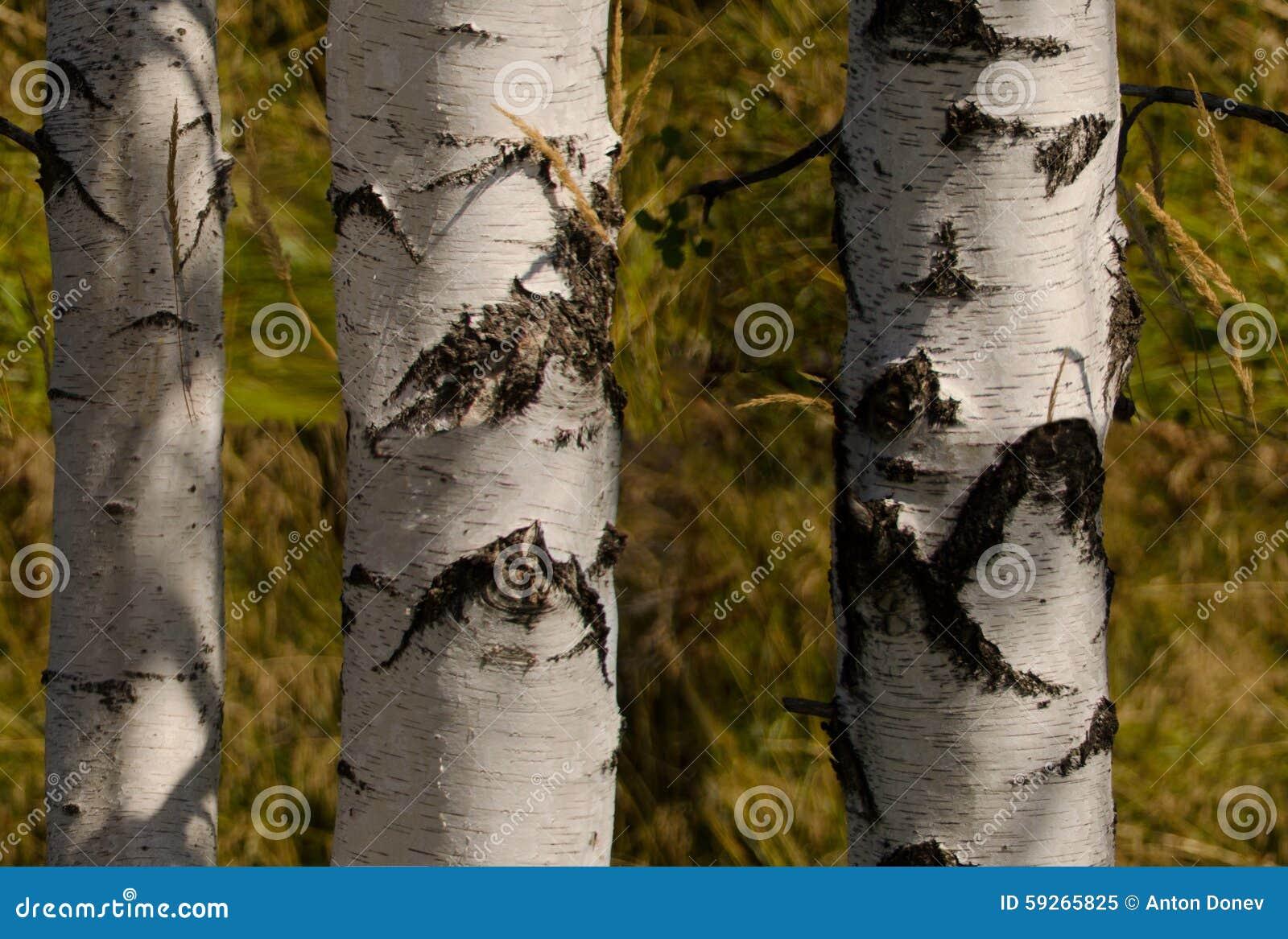 papier peint arbre bouleau. best arbre du bouleau serti de nichoirs