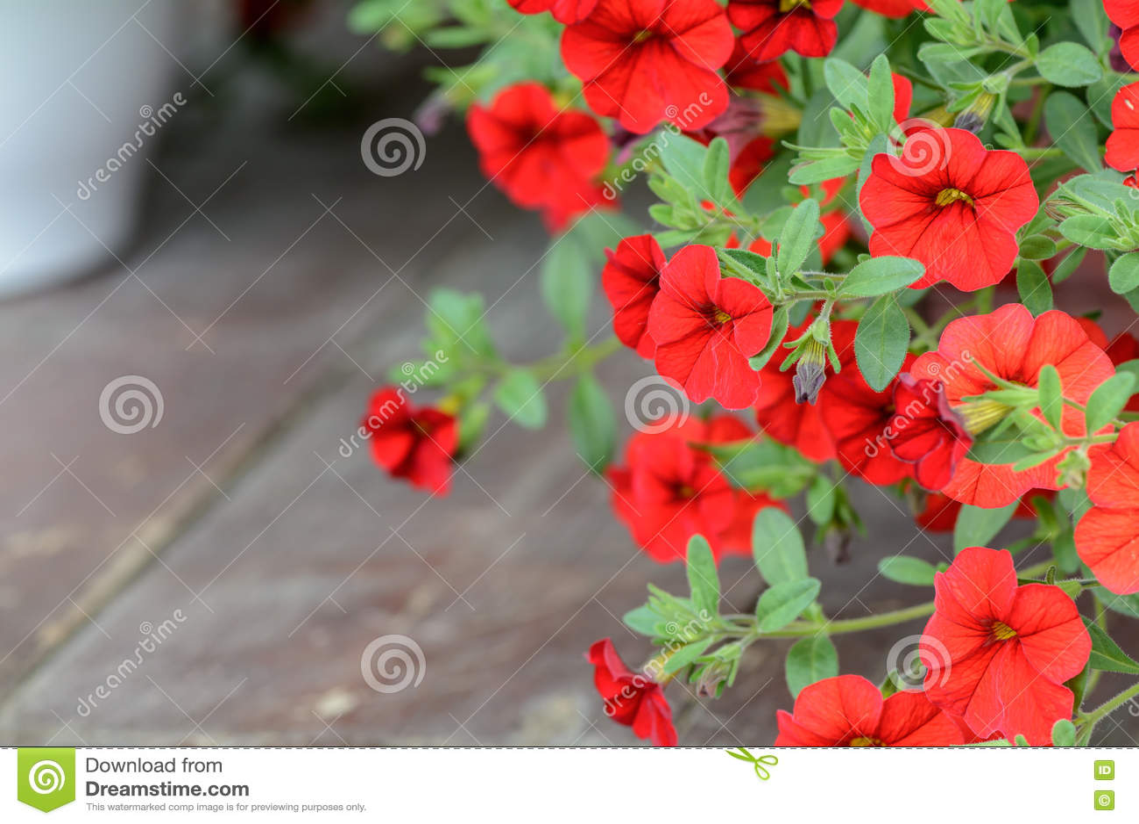 Papier peint rouge de p tunia de fleur fleurs rouges de for Fleurs dans le jardin
