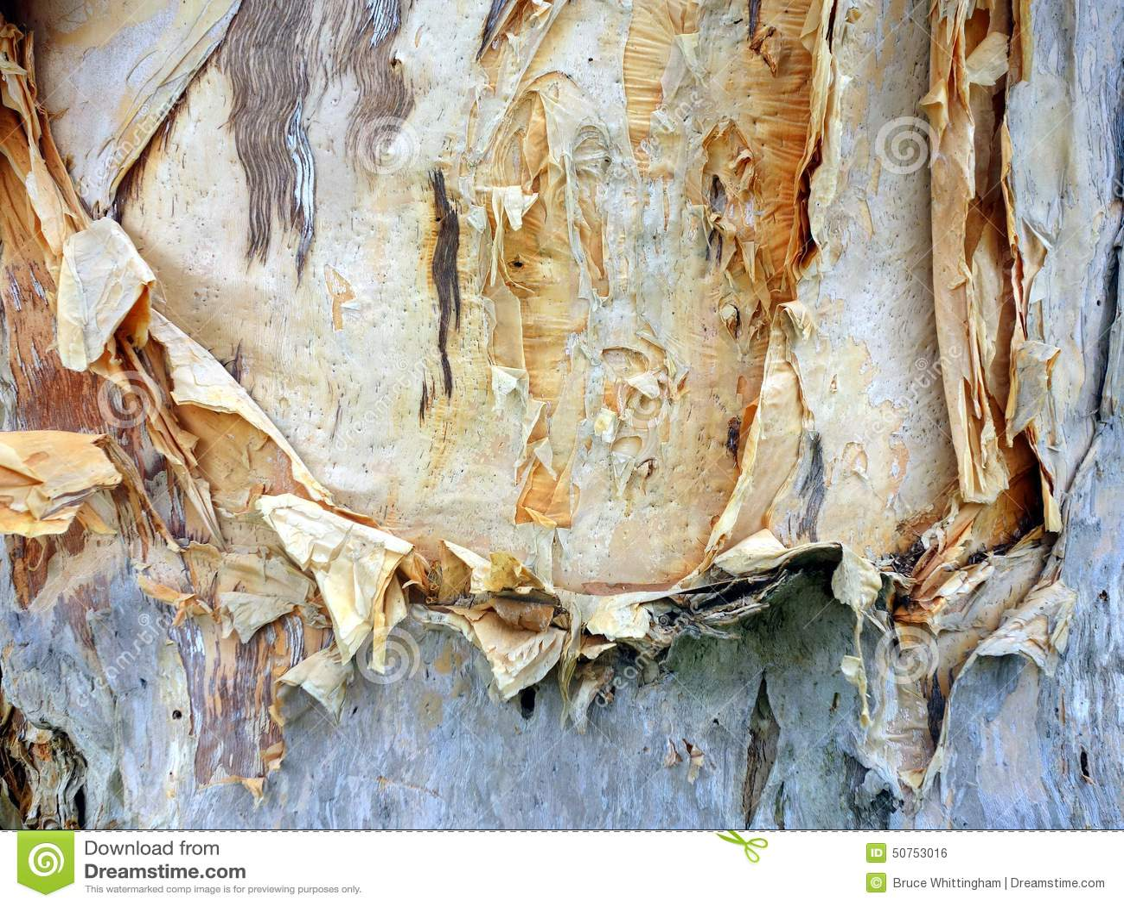 papierbarke eukalyptus baum stockfoto bild 50753016. Black Bedroom Furniture Sets. Home Design Ideas