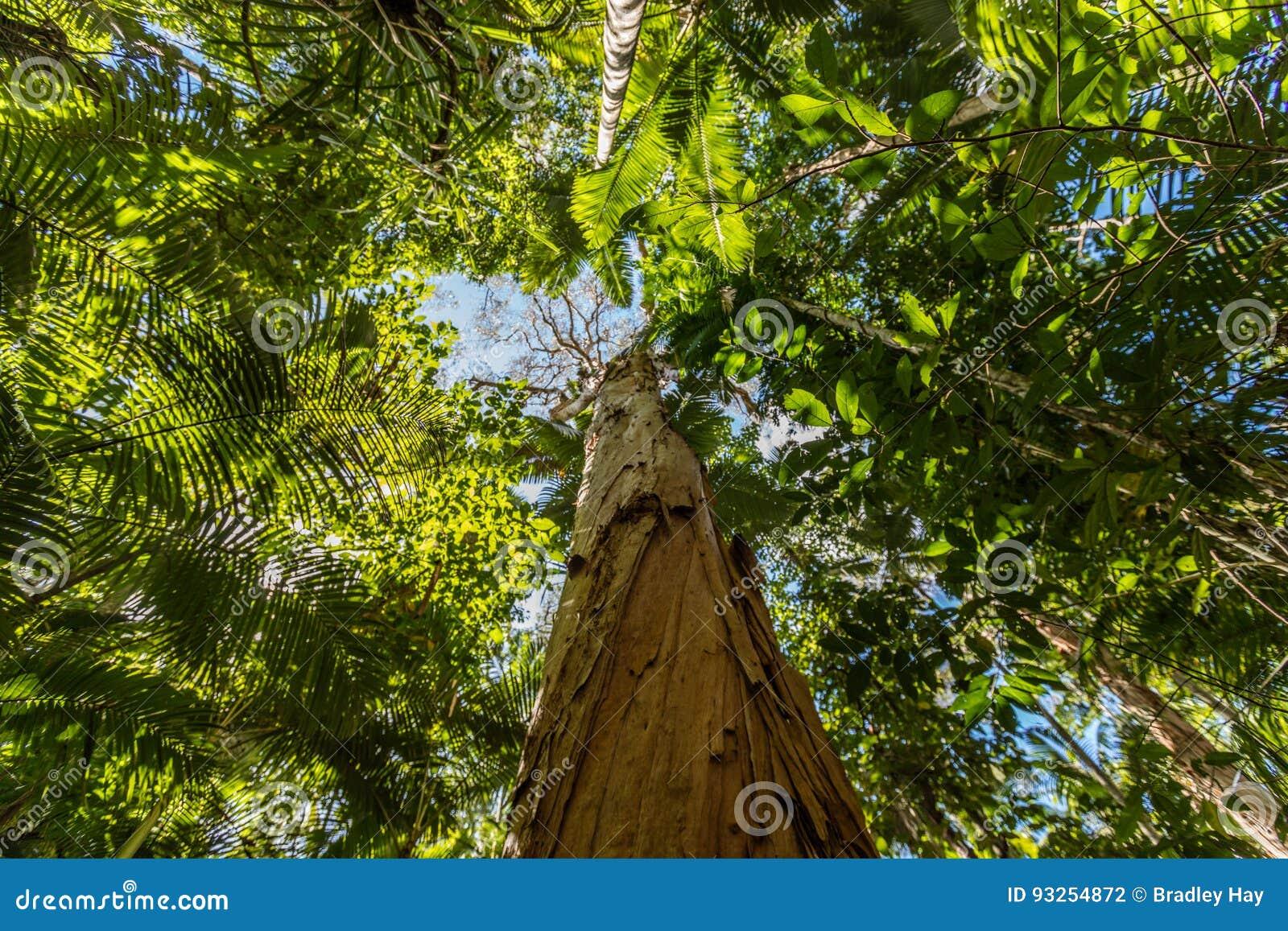 Papierowy korowaty herbaciany drzewo, kopów ogródy botaniczni, kopowie regiony, Queensland, Australia