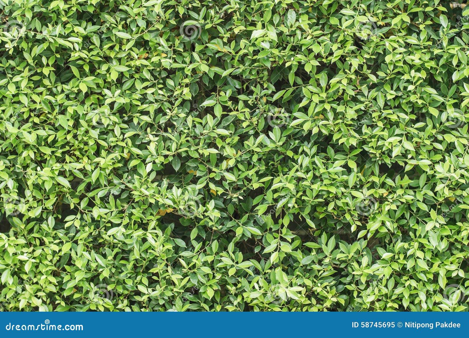 Papiers Peints Et Milieux Verts De Texture De Feuille Image Stock
