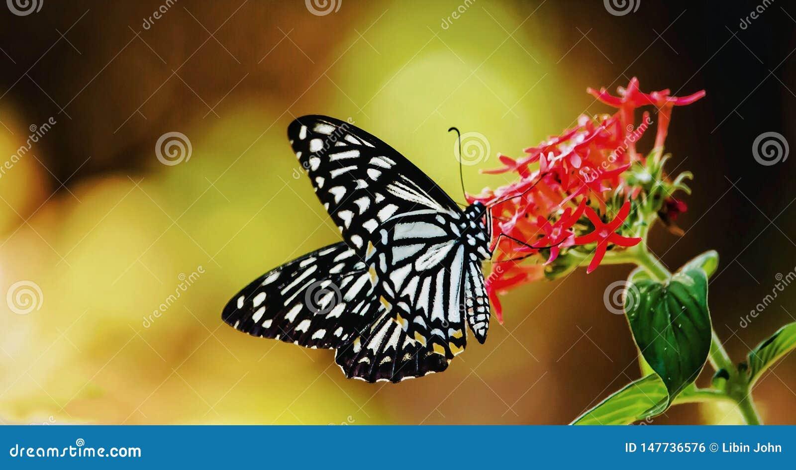 Papilio clytia, den gemensamma faderns