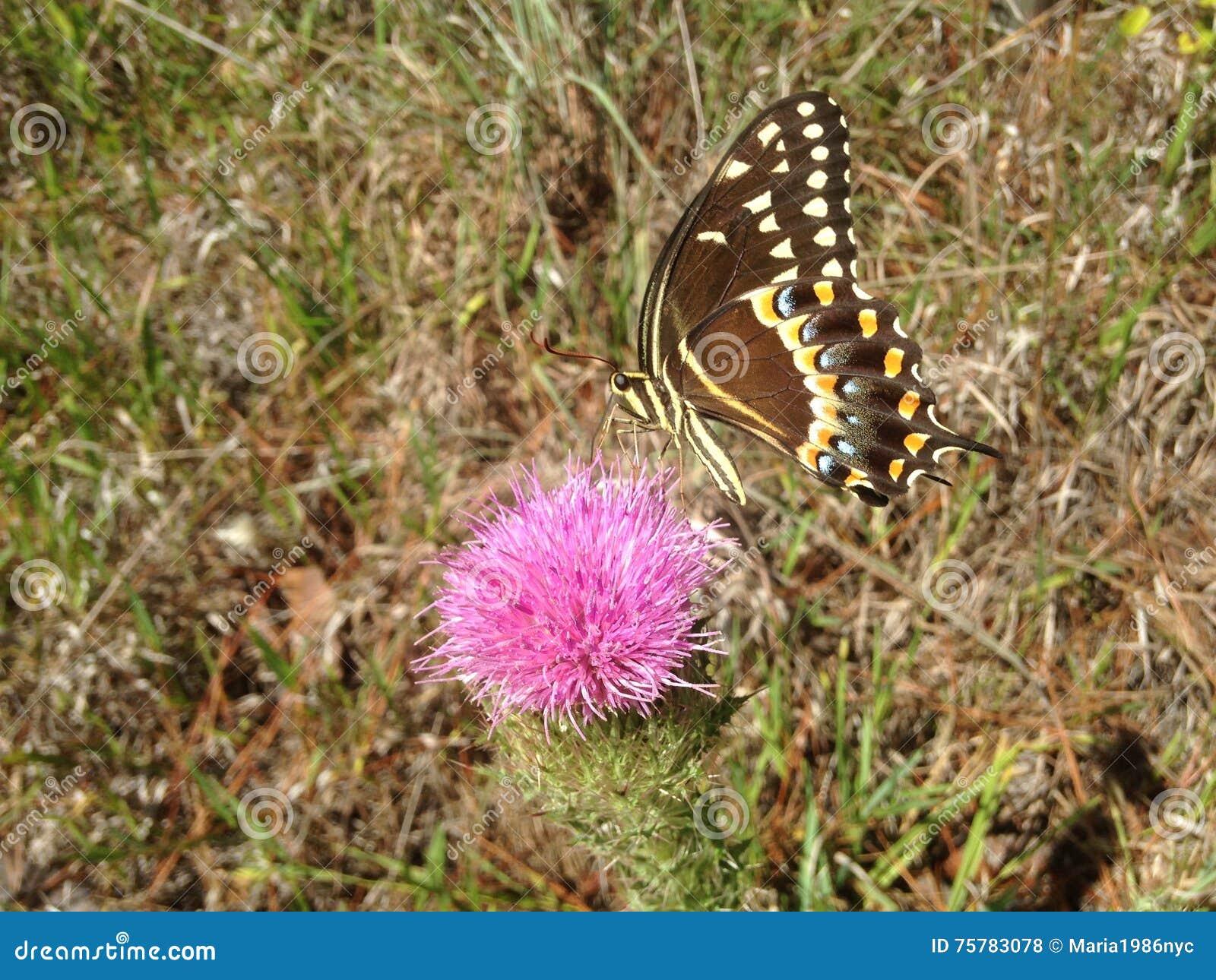 Papilio Machaon, Swallowtail-Vlinder op Distelinstallatie in Florida