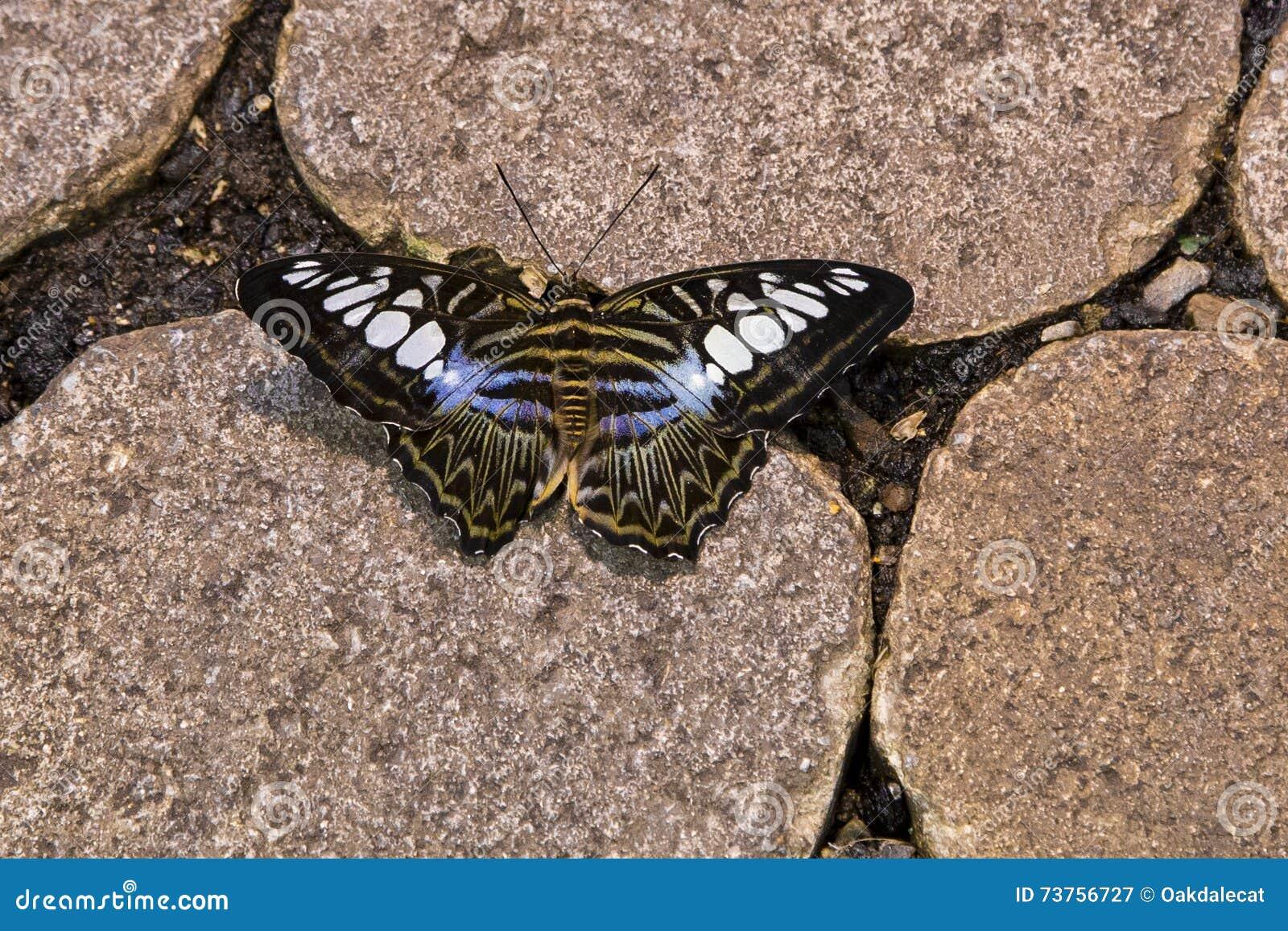 que suis -je ? ajonc 15 février Bravo Martine  - Page 2 Papillon-bleu-de-tondeuse-sur-la-pierre-73756727