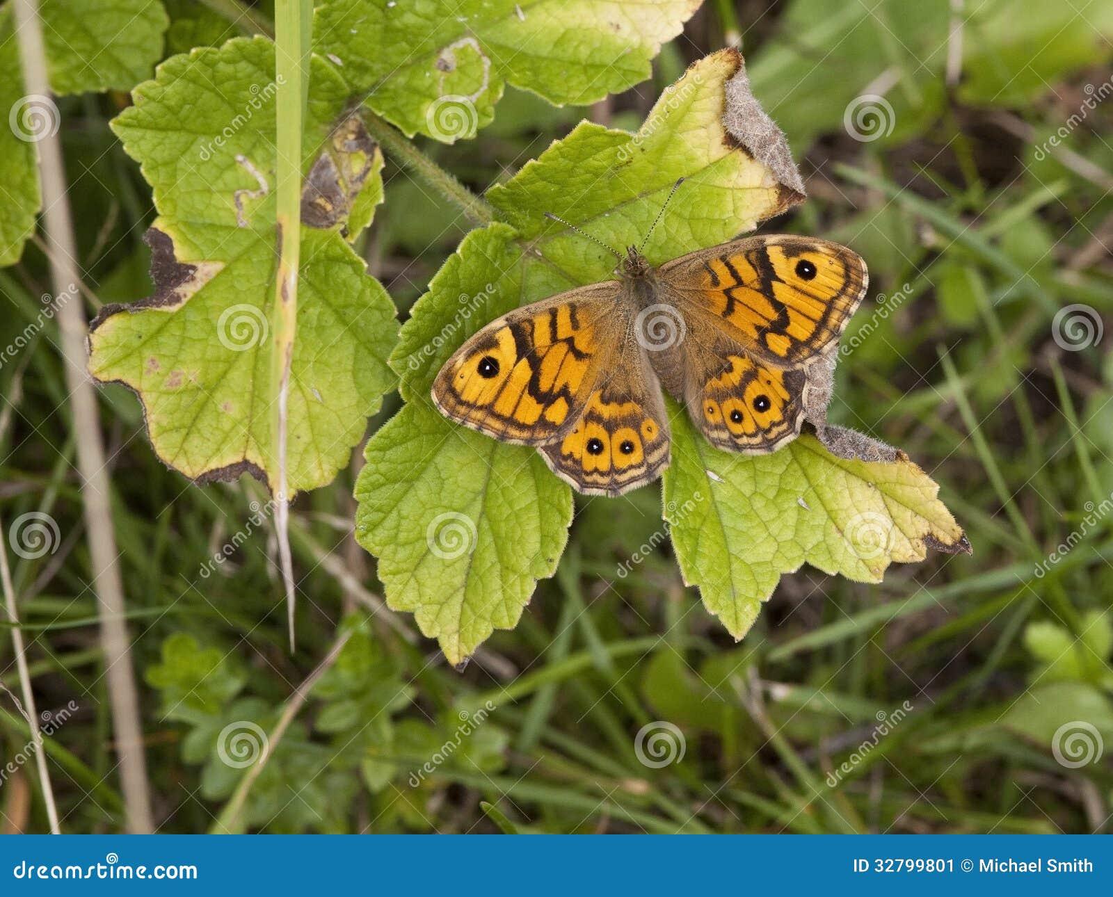 papillon brun de mur image stock image du insectes faune 32799801. Black Bedroom Furniture Sets. Home Design Ideas