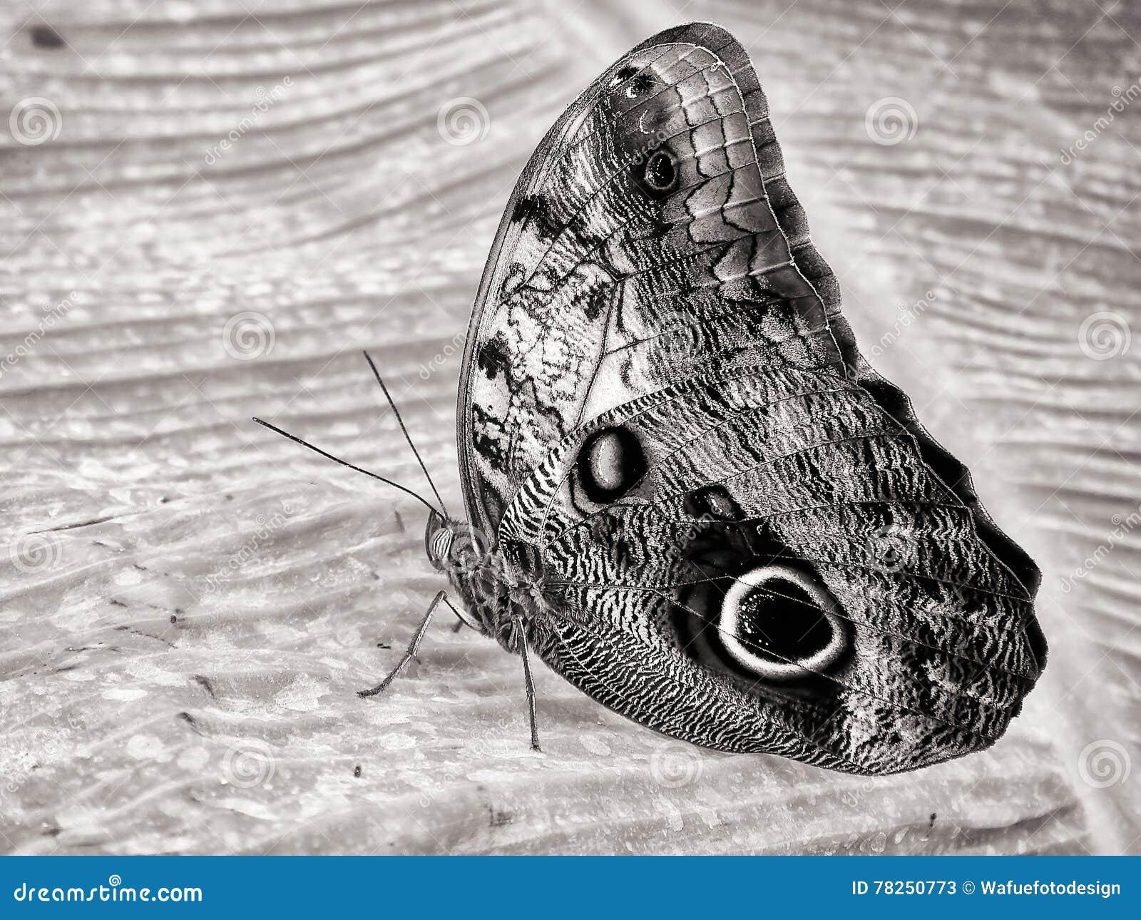 Papillon de banane