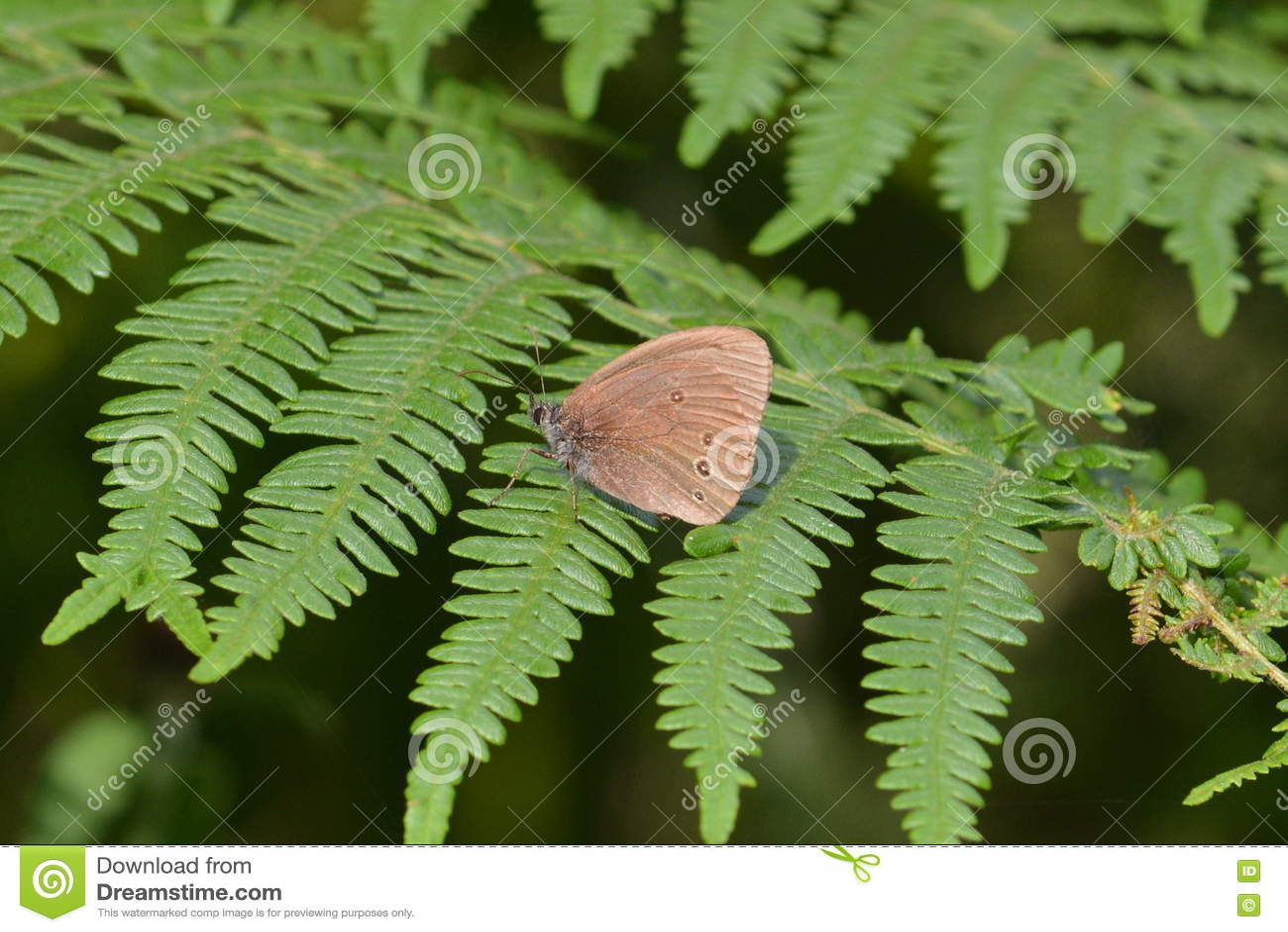 Papillon de boucle