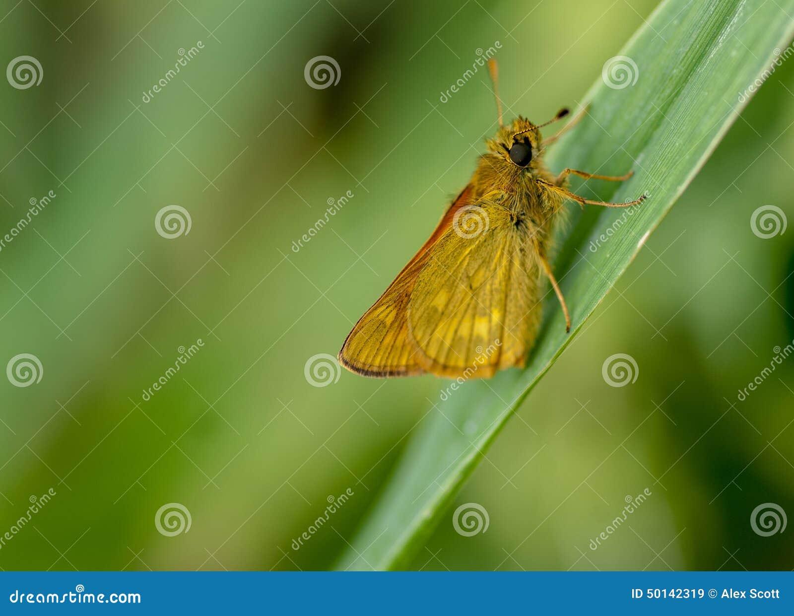 Papillon de capitaine de portrait d insecte grand
